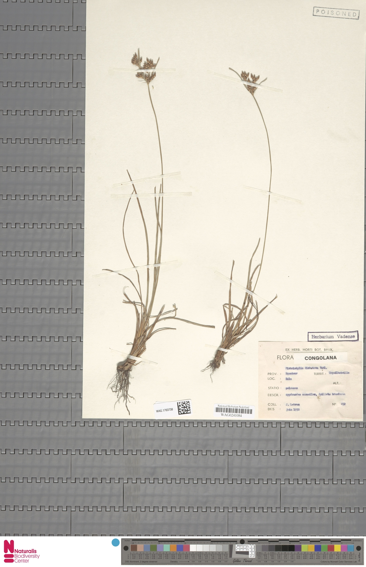 WAG.1763738 | Fimbristylis dichotoma (L.) Vahl