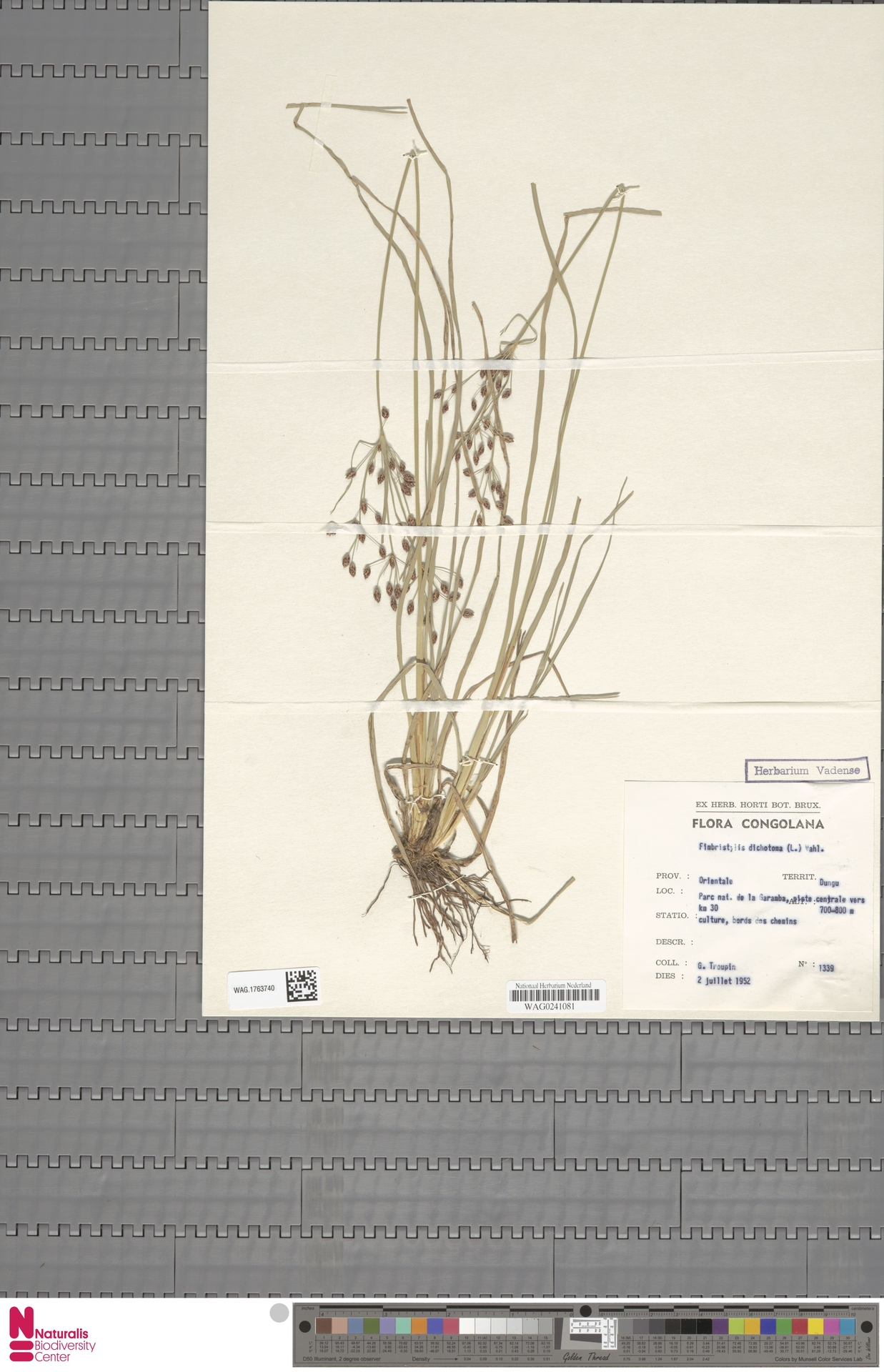 WAG.1763740   Fimbristylis dichotoma (L.) Vahl