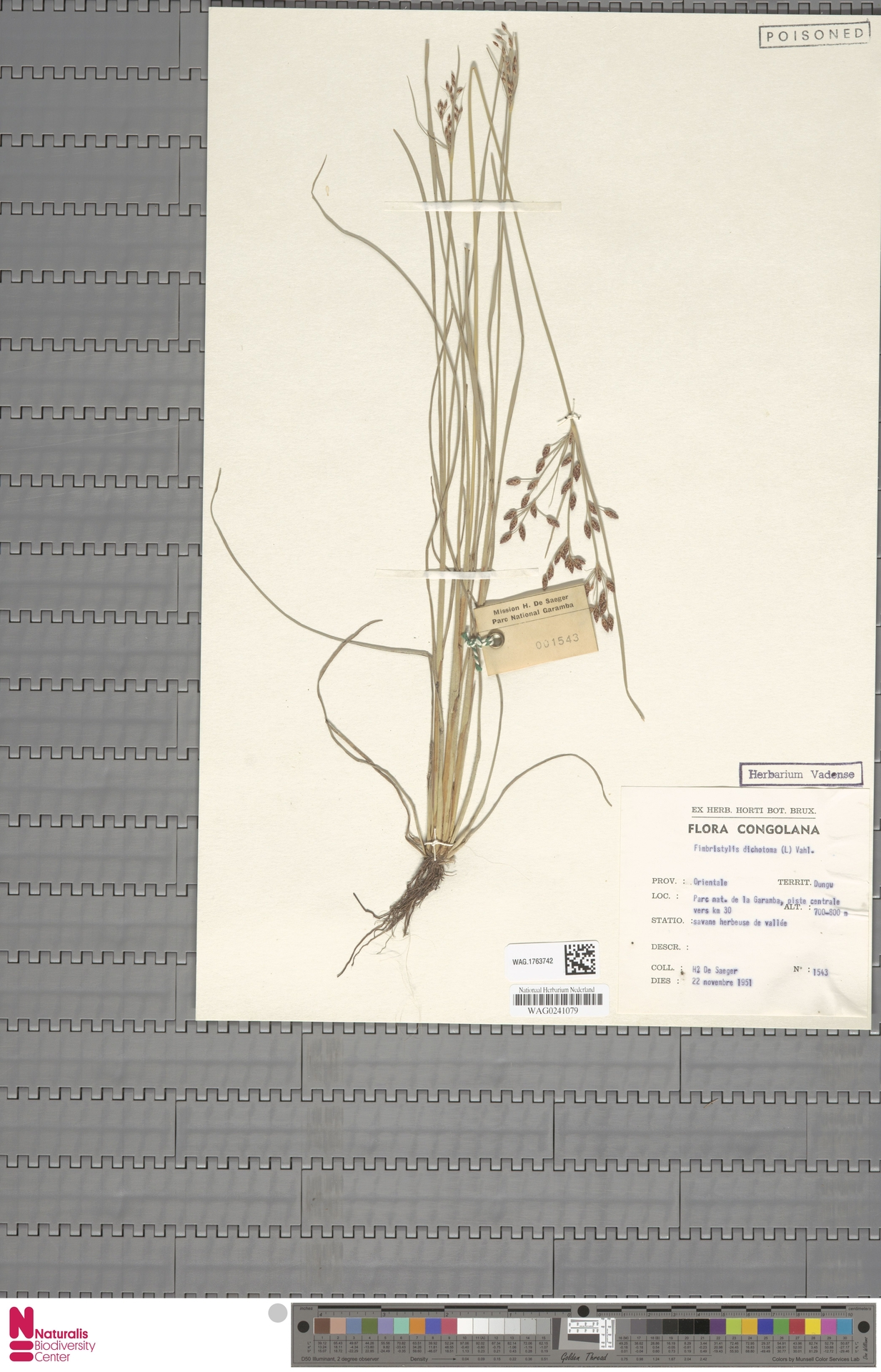 WAG.1763742 | Fimbristylis dichotoma (L.) Vahl