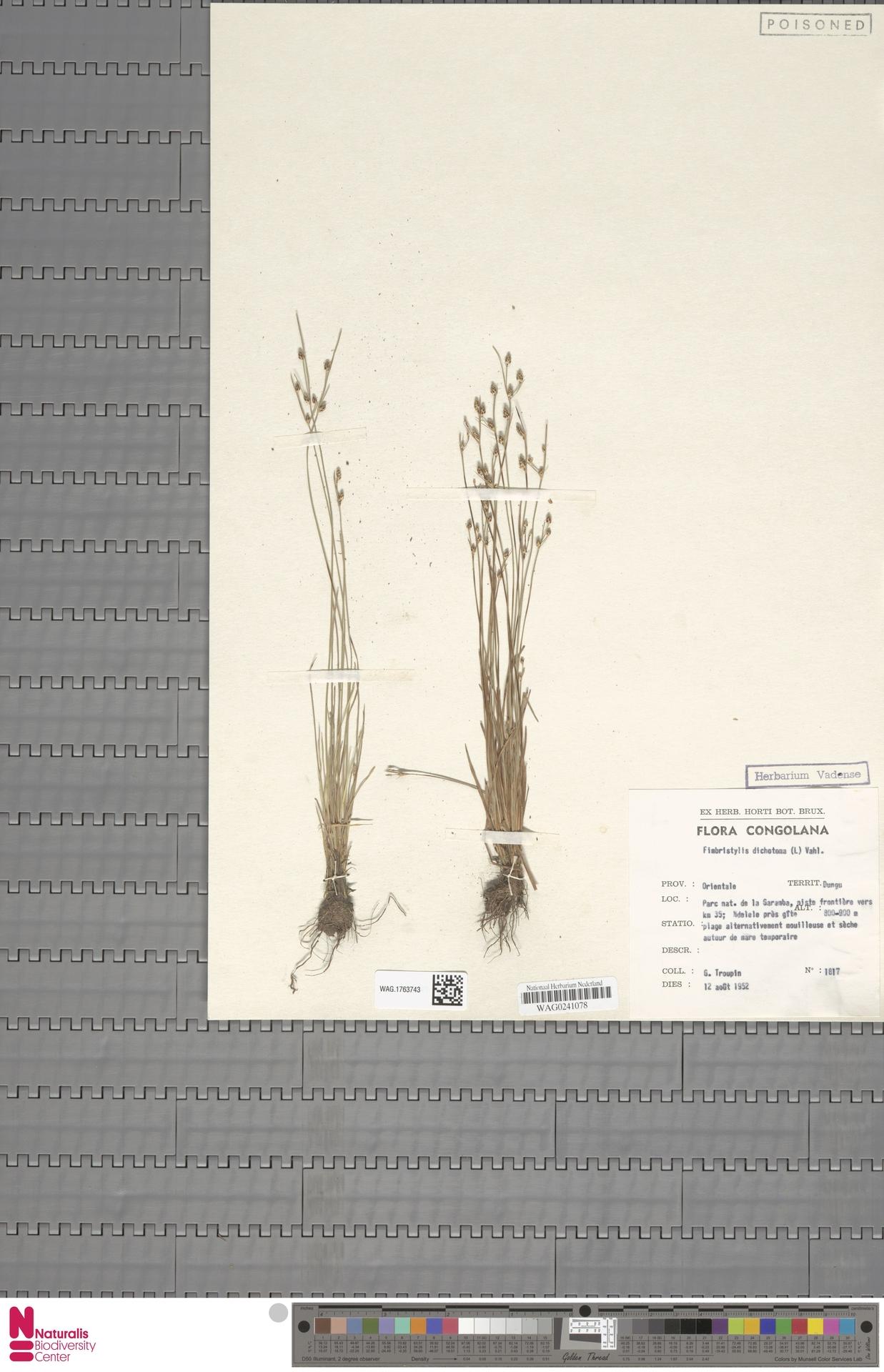 WAG.1763743 | Fimbristylis dichotoma (L.) Vahl
