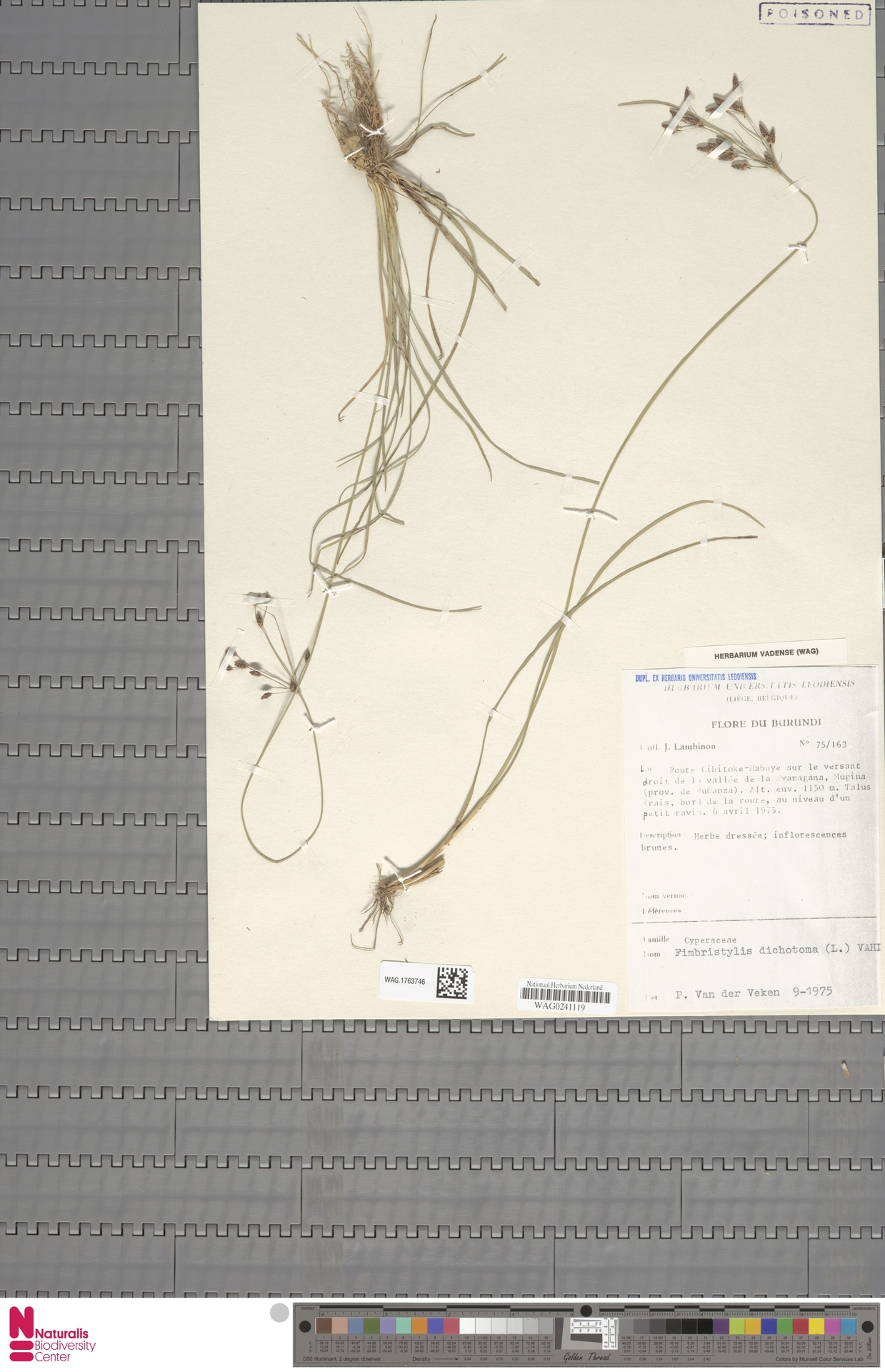 WAG.1763746   Fimbristylis dichotoma (L.) Vahl