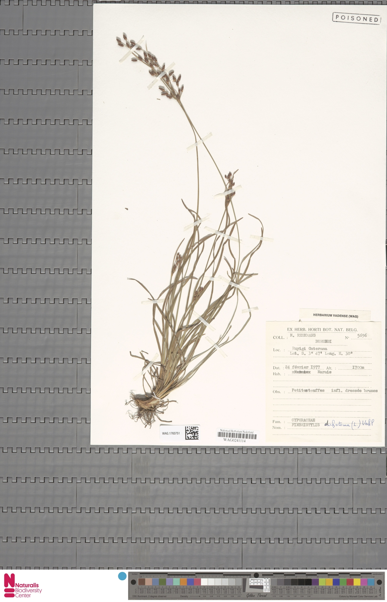 WAG.1763751 | Fimbristylis dichotoma (L.) Vahl