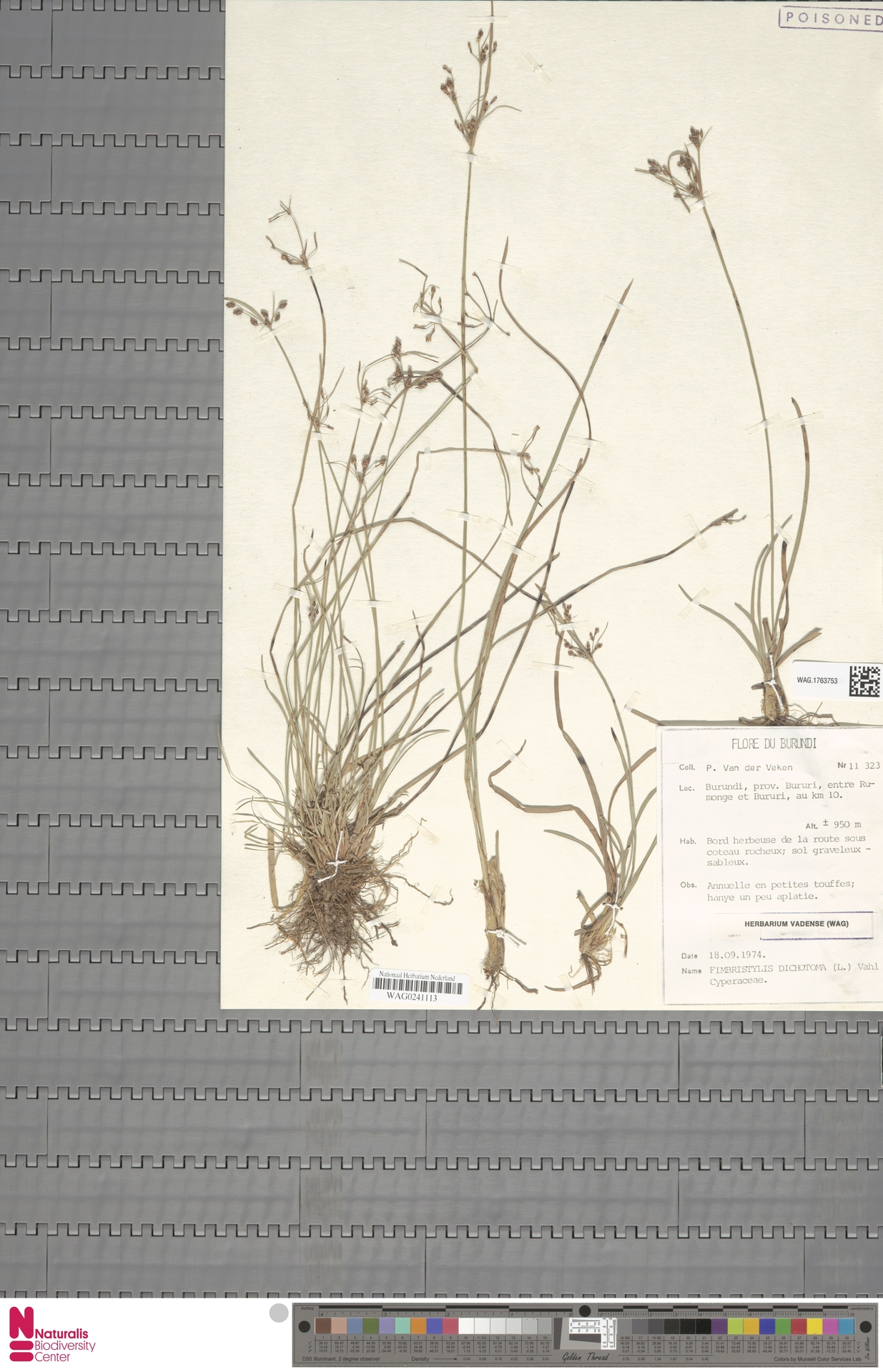 WAG.1763753 | Fimbristylis dichotoma (L.) Vahl