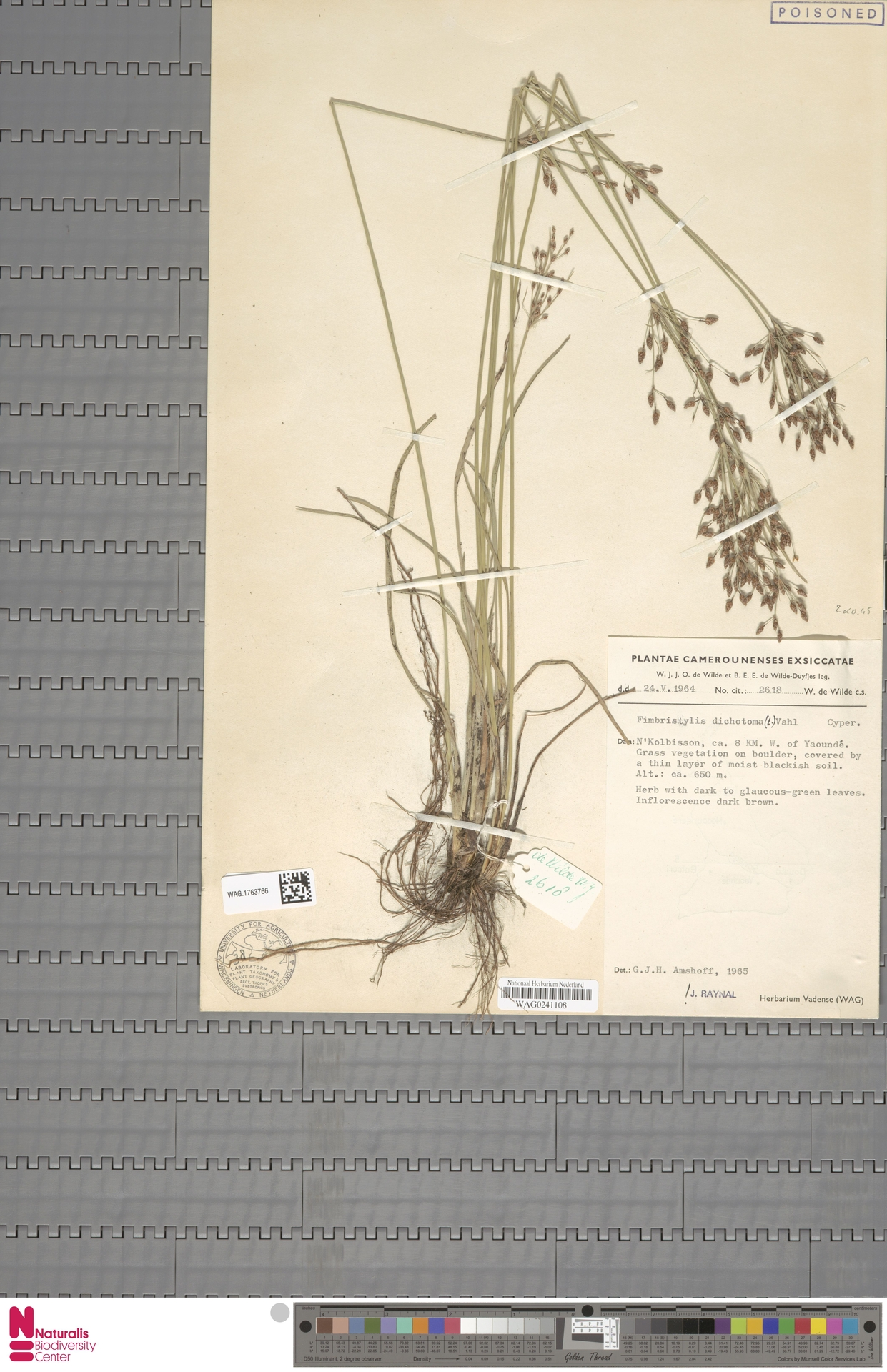 WAG.1763766 | Fimbristylis dichotoma (L.) Vahl