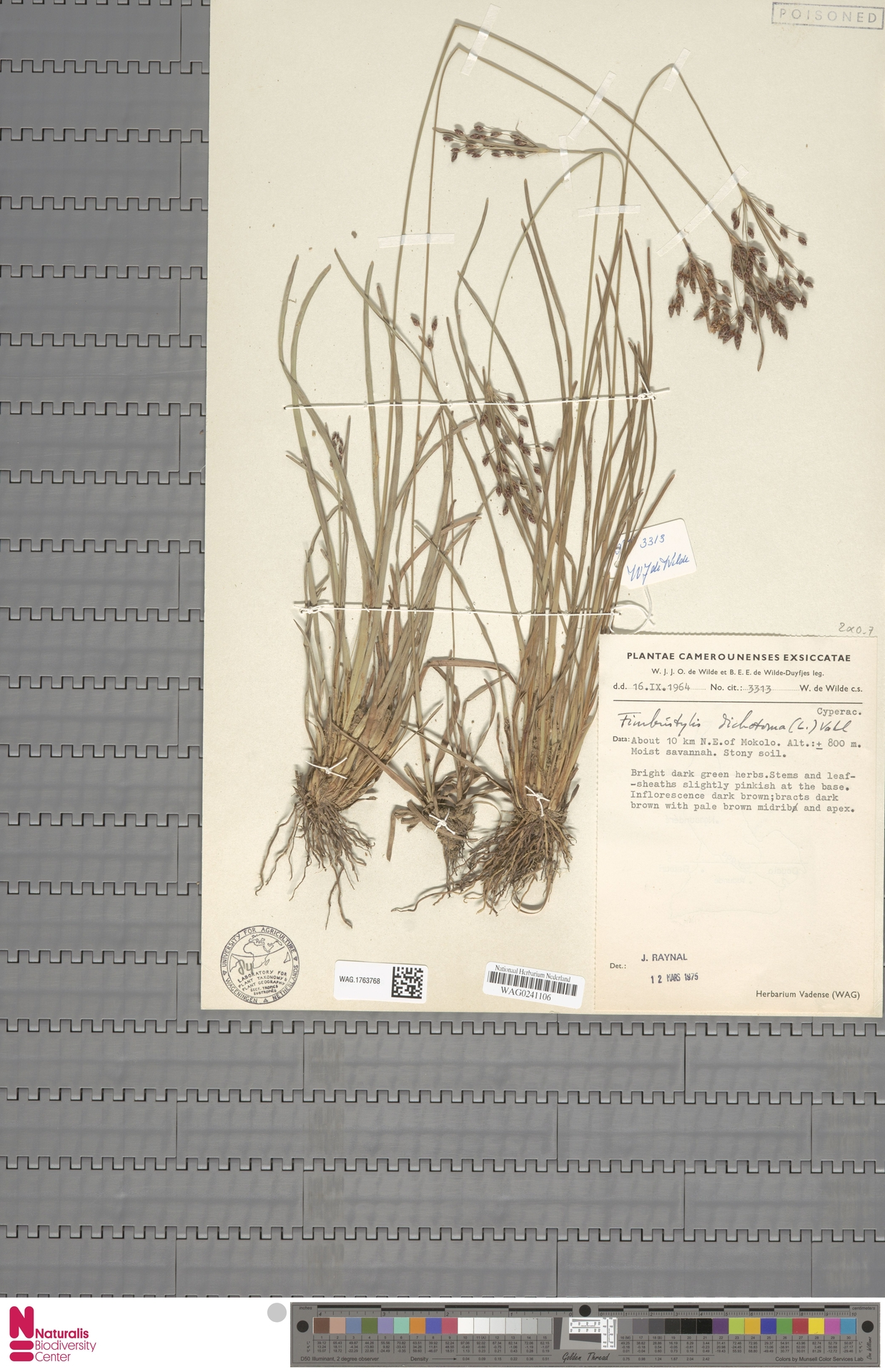 WAG.1763768   Fimbristylis dichotoma (L.) Vahl