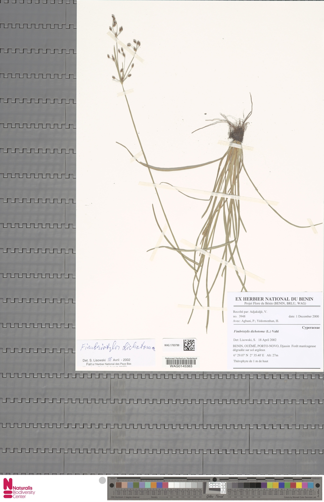 WAG.1763799 | Fimbristylis dichotoma (L.) Vahl