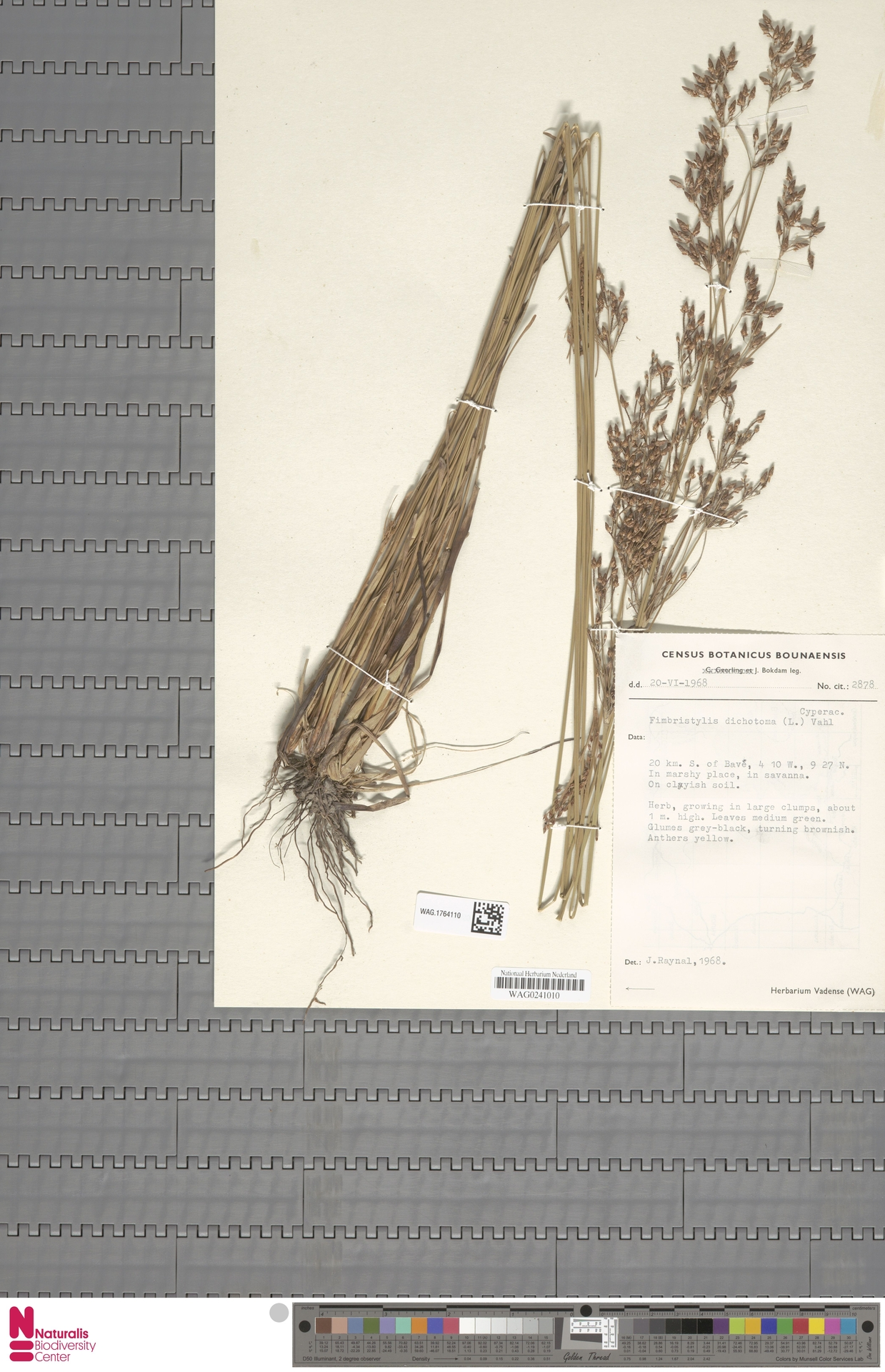 WAG.1764110 | Fimbristylis dichotoma (L.) Vahl