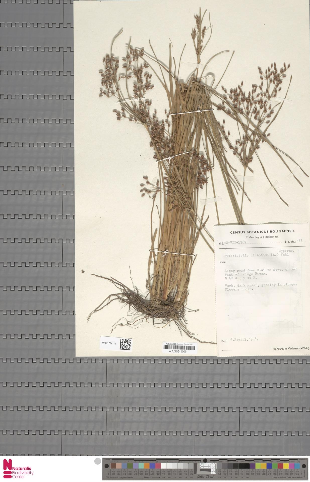 WAG.1764111   Fimbristylis dichotoma (L.) Vahl