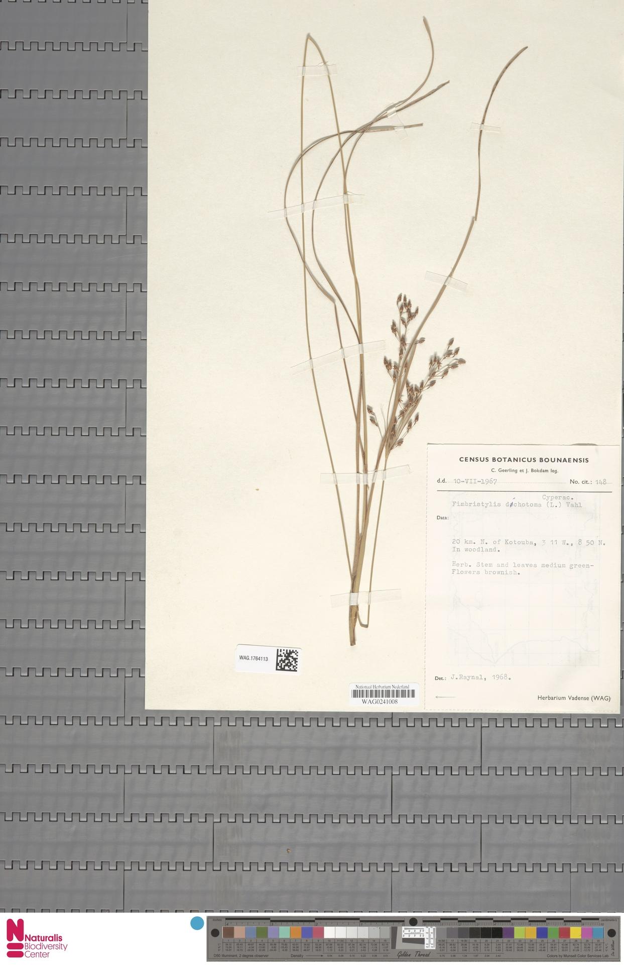 WAG.1764113 | Fimbristylis dichotoma (L.) Vahl