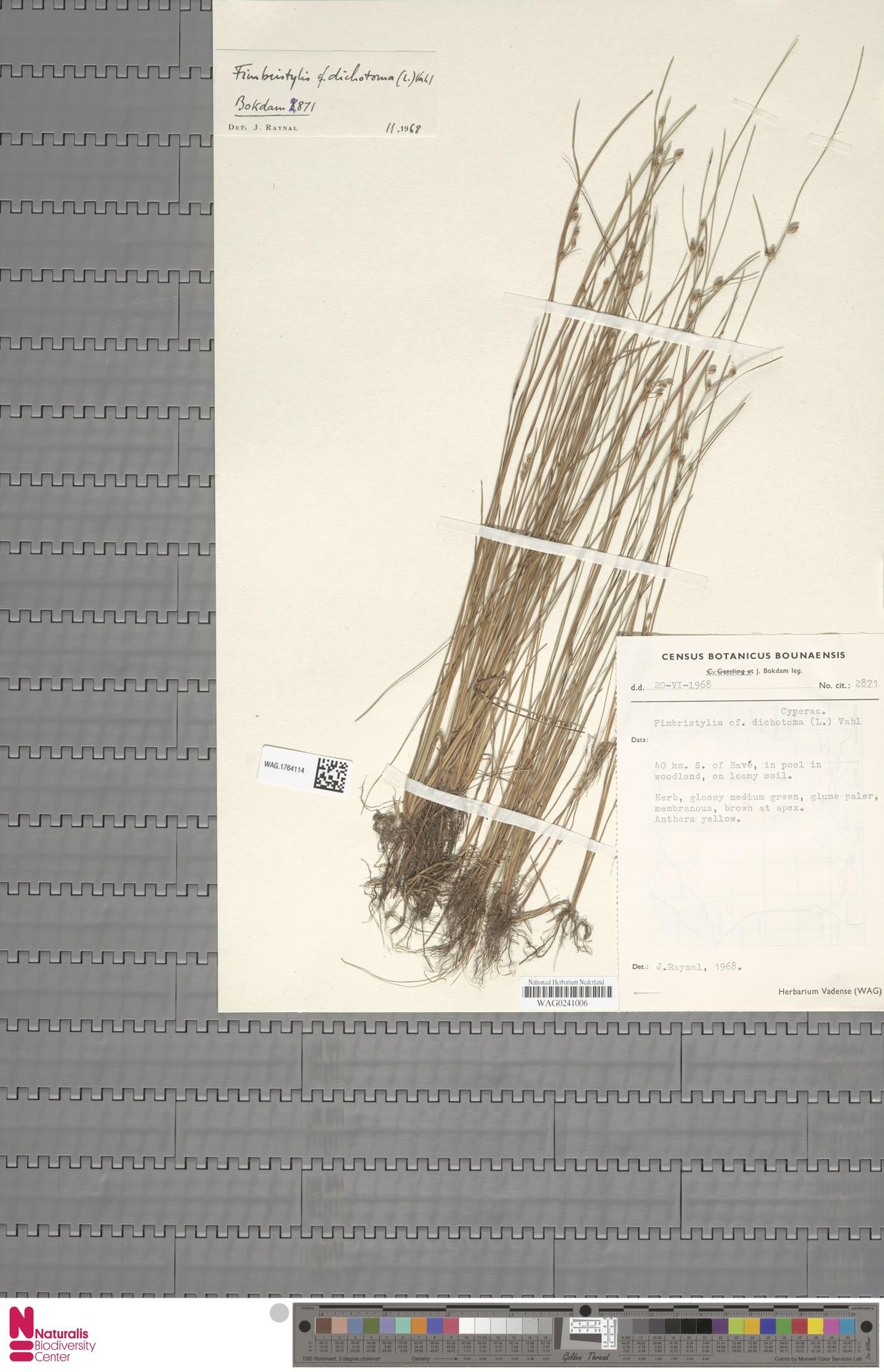 WAG.1764114 | Fimbristylis dichotoma (L.) Vahl