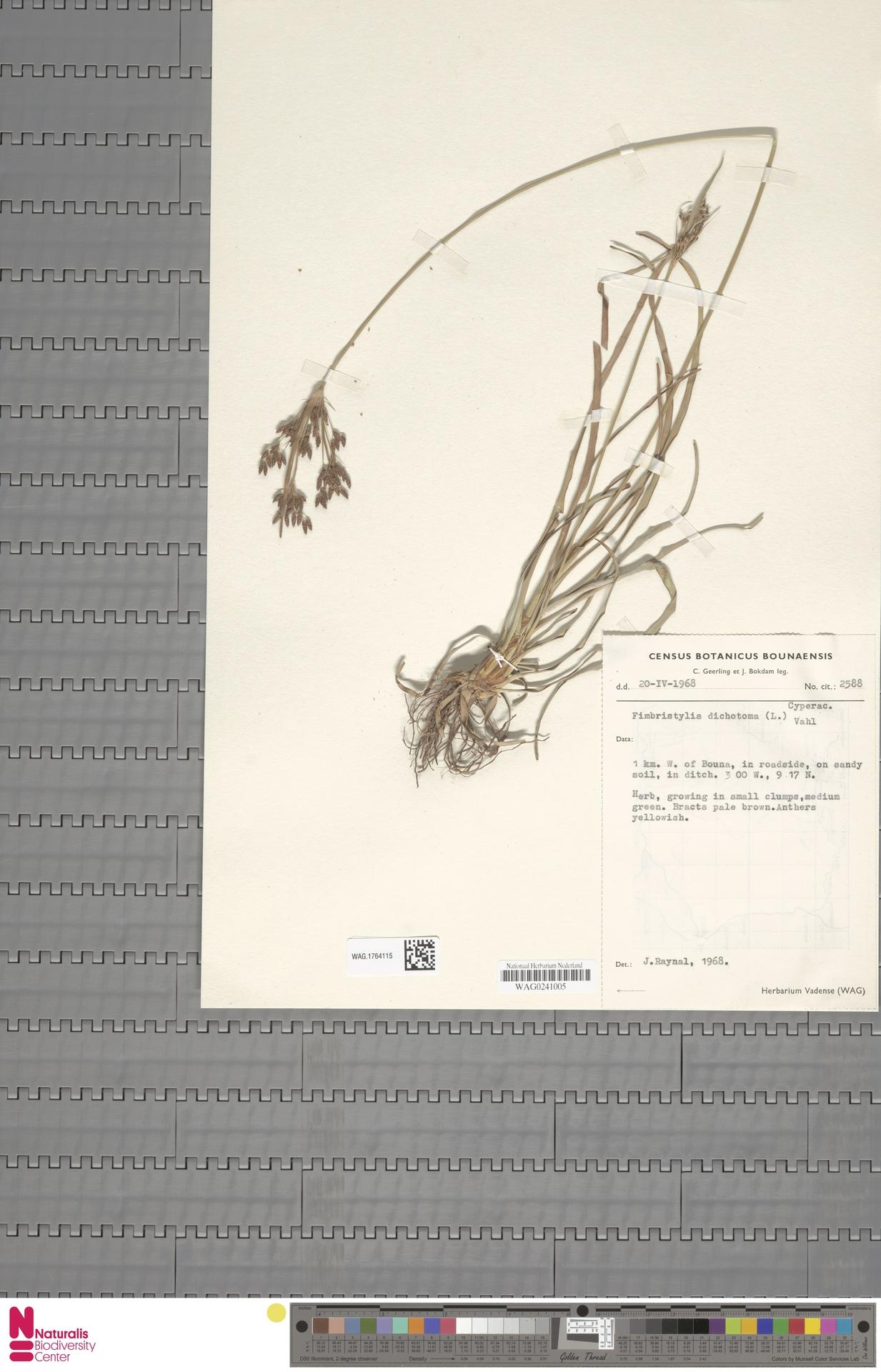 WAG.1764115   Fimbristylis dichotoma (L.) Vahl