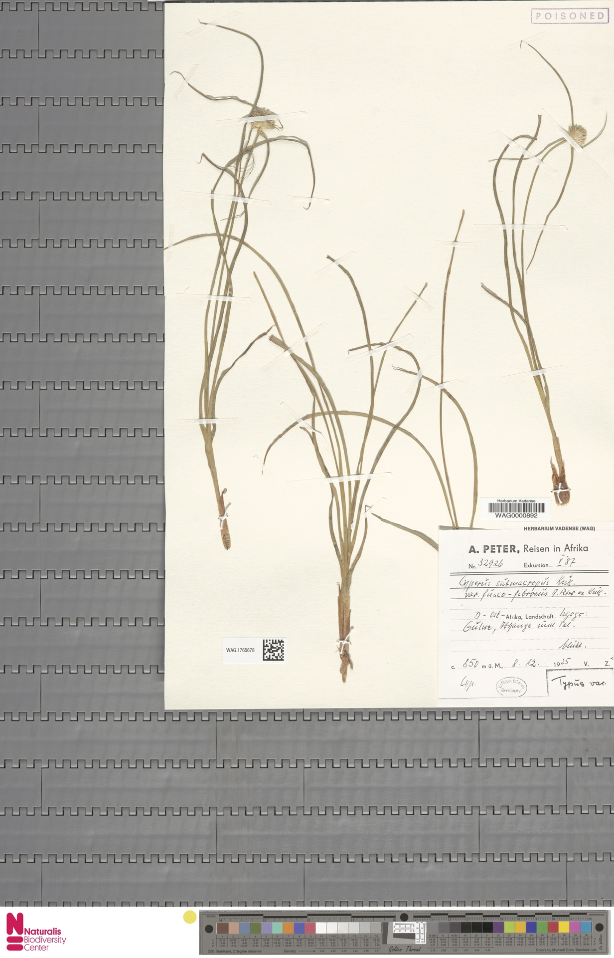 WAG.1765678 | Cyperus submacropus var. fusco-fibrosus Peter ex Kük.