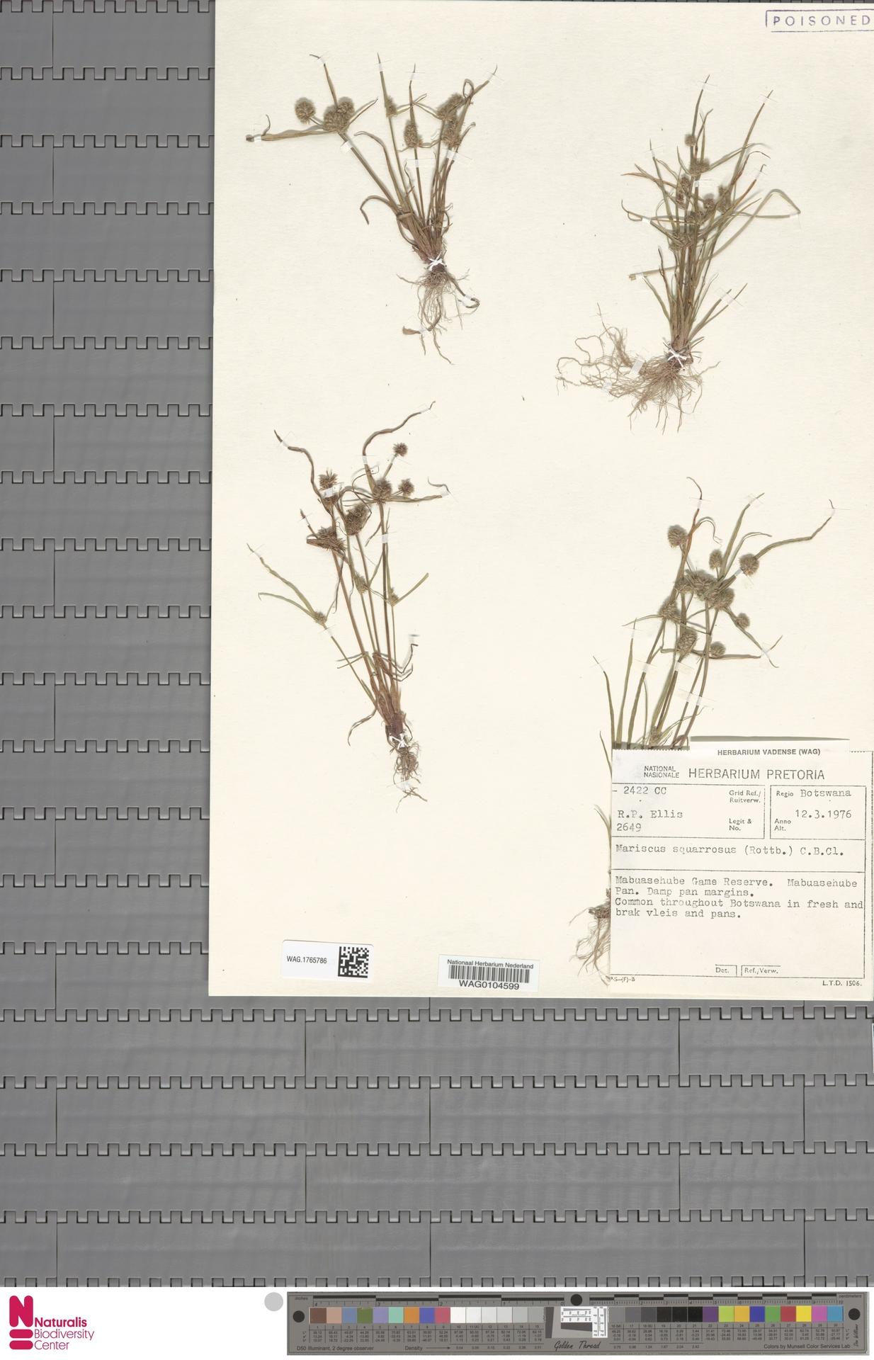 WAG.1765786 | Mariscus squarrosus (L.) C.B.Clarke