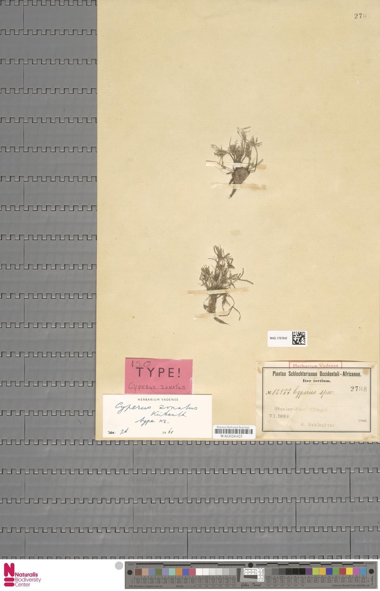 WAG.1767642 | Cyperus L.