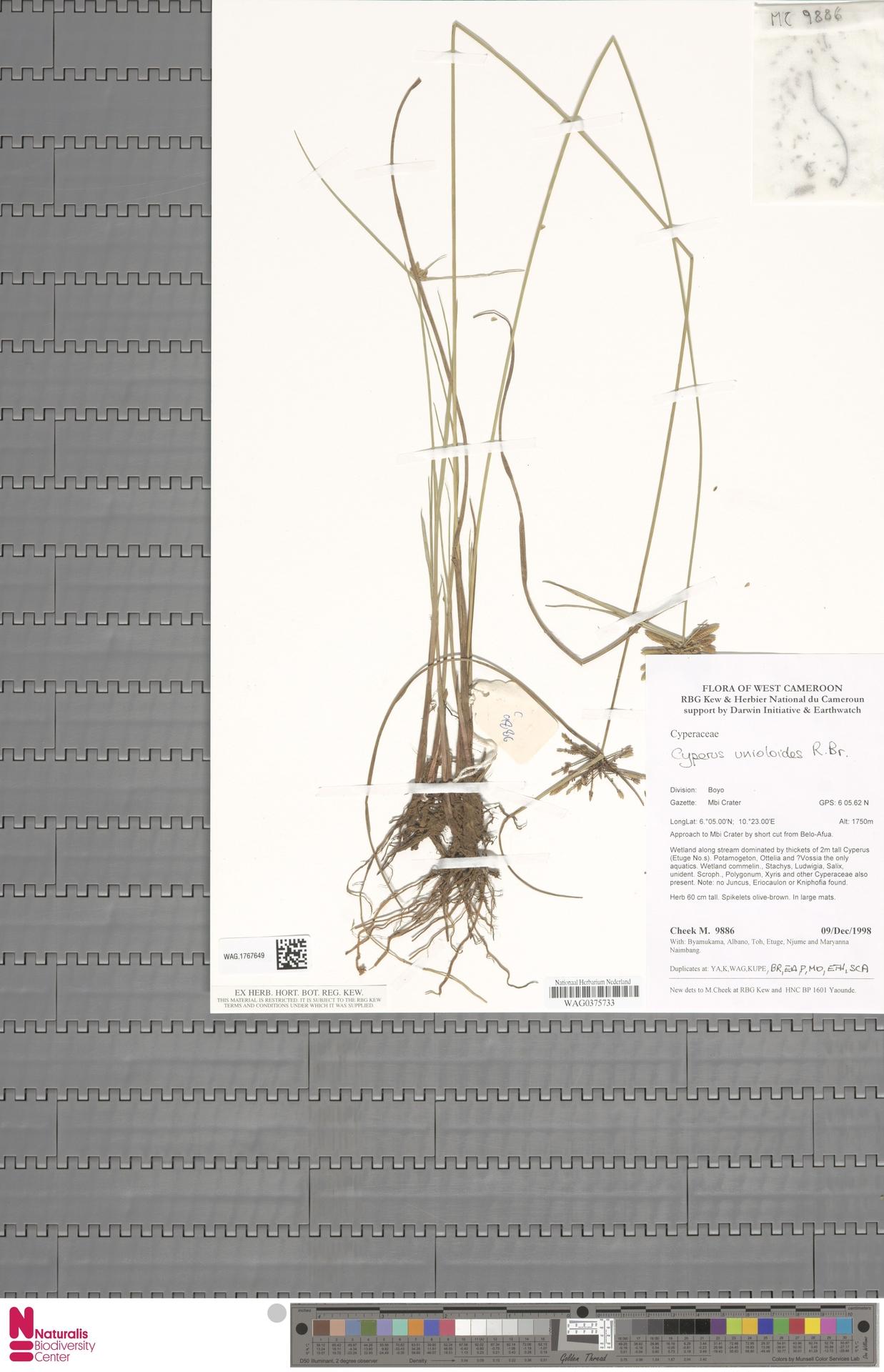 WAG.1767649 | Cyperus unioloides R.Br.