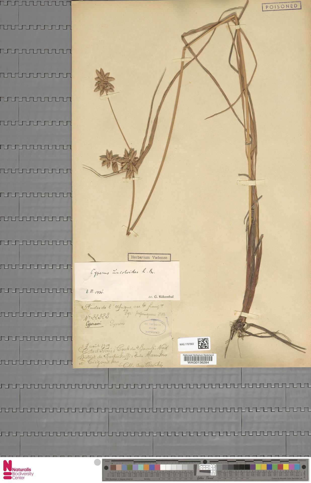 WAG.1767663 | Cyperus unioloides R.Br.