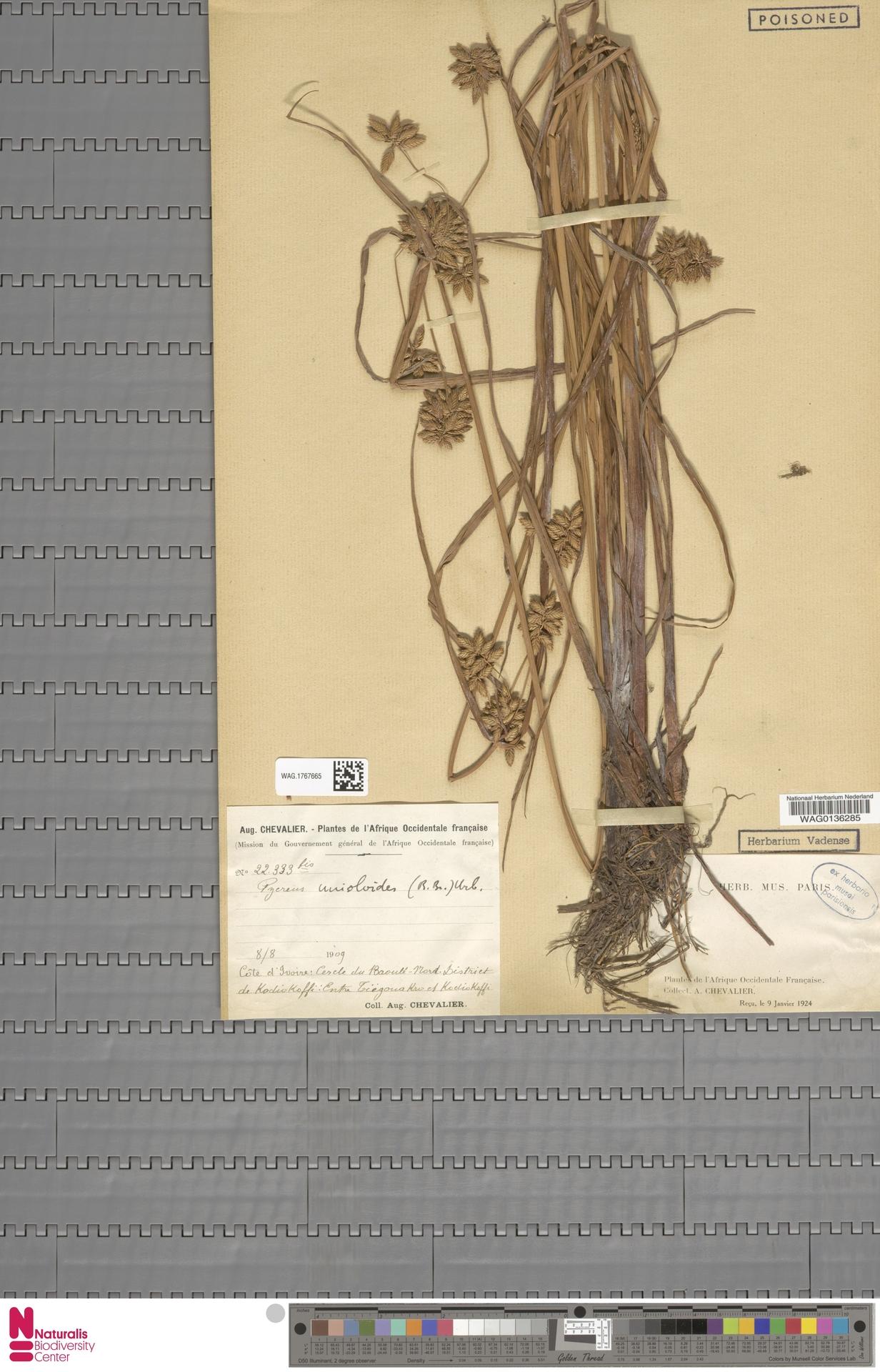 WAG.1767665 | Cyperus unioloides R.Br.