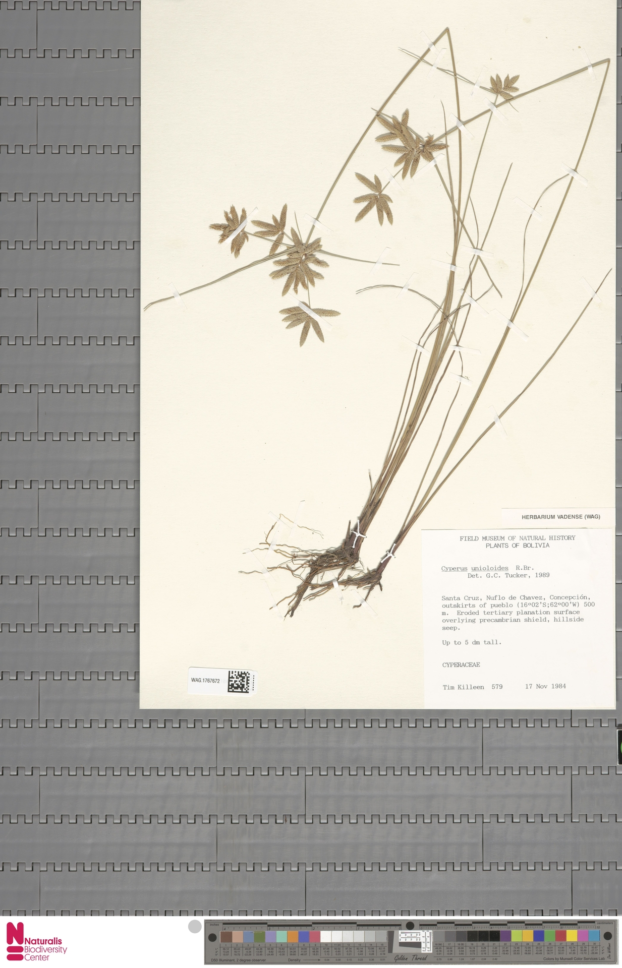 WAG.1767672 | Cyperus unioloides R.Br.