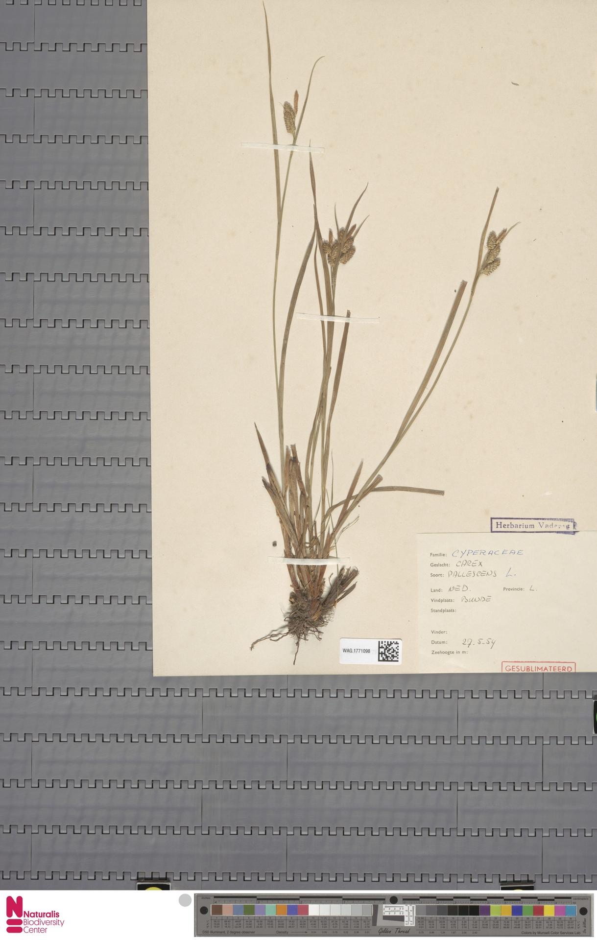 WAG.1771098 | Carex pallescens L.