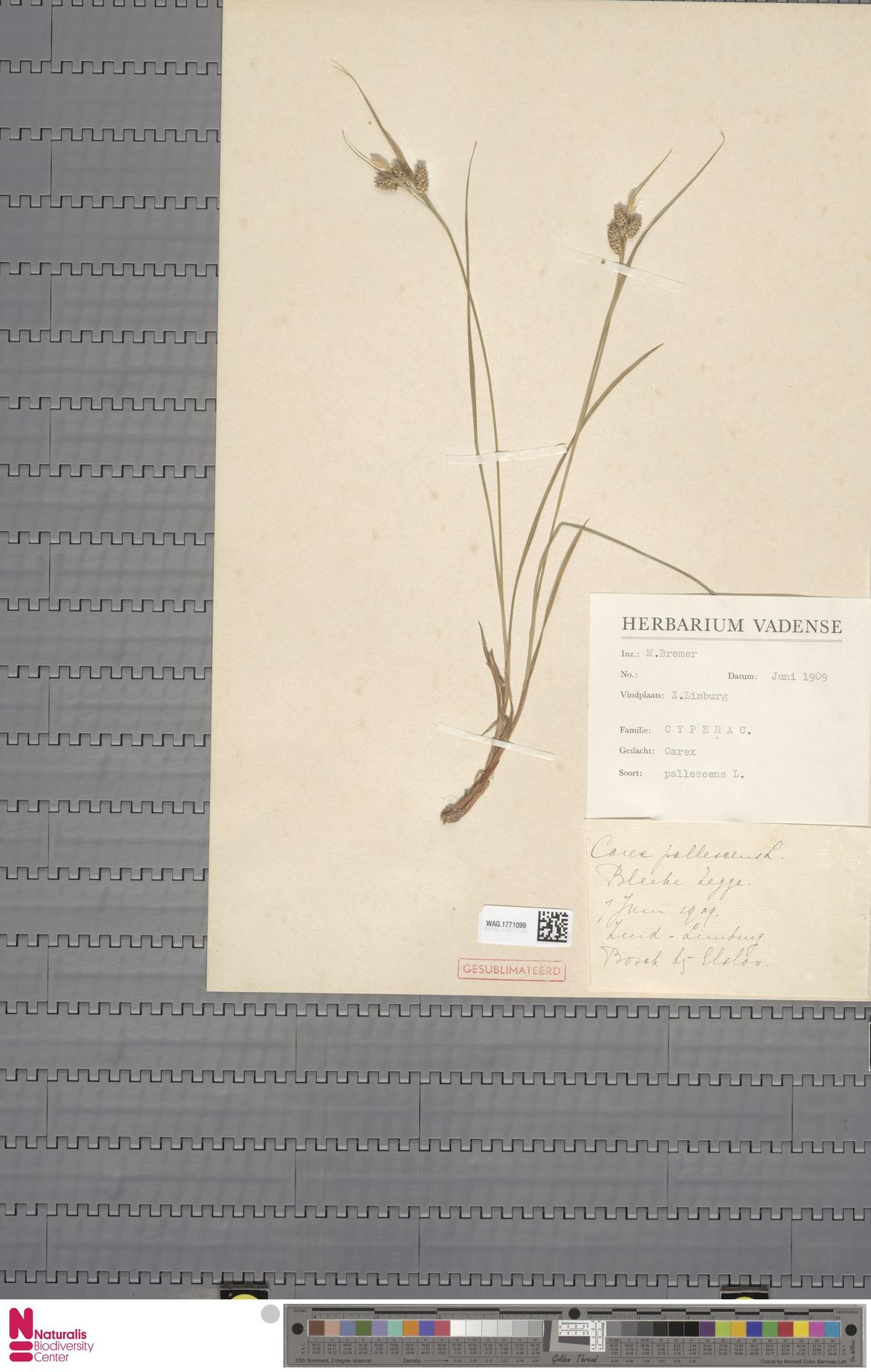 WAG.1771099 | Carex pallescens L.