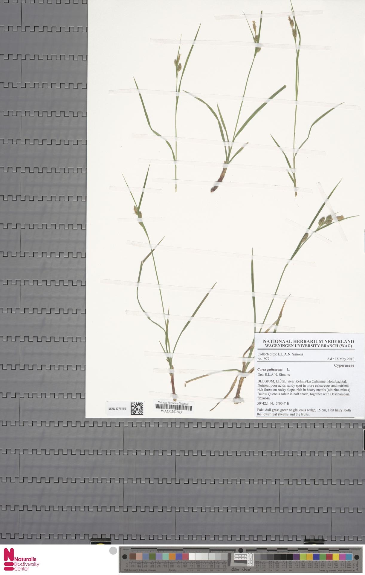 WAG.1771114 | Carex pallescens L.