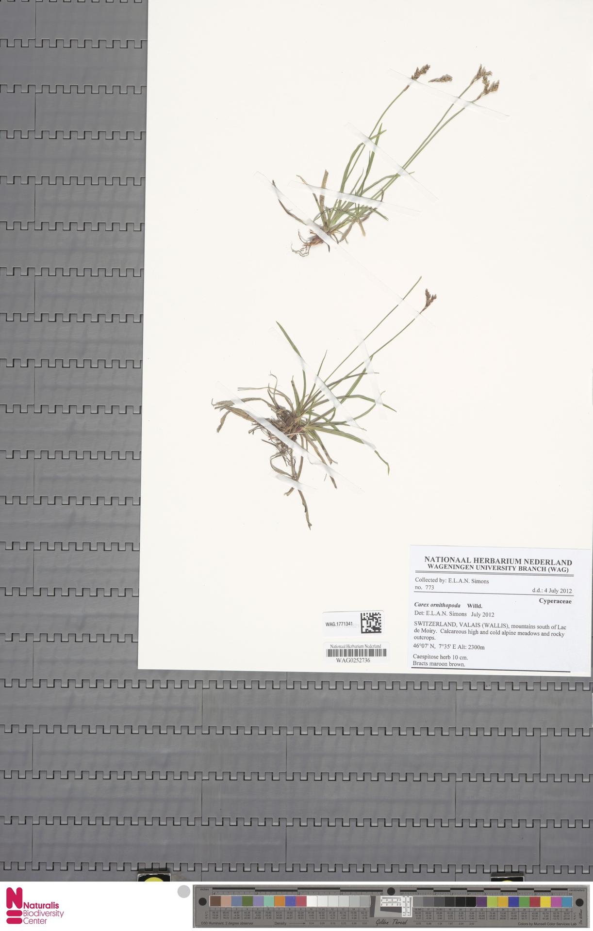 WAG.1771341 | Carex ornithopoda Willd.