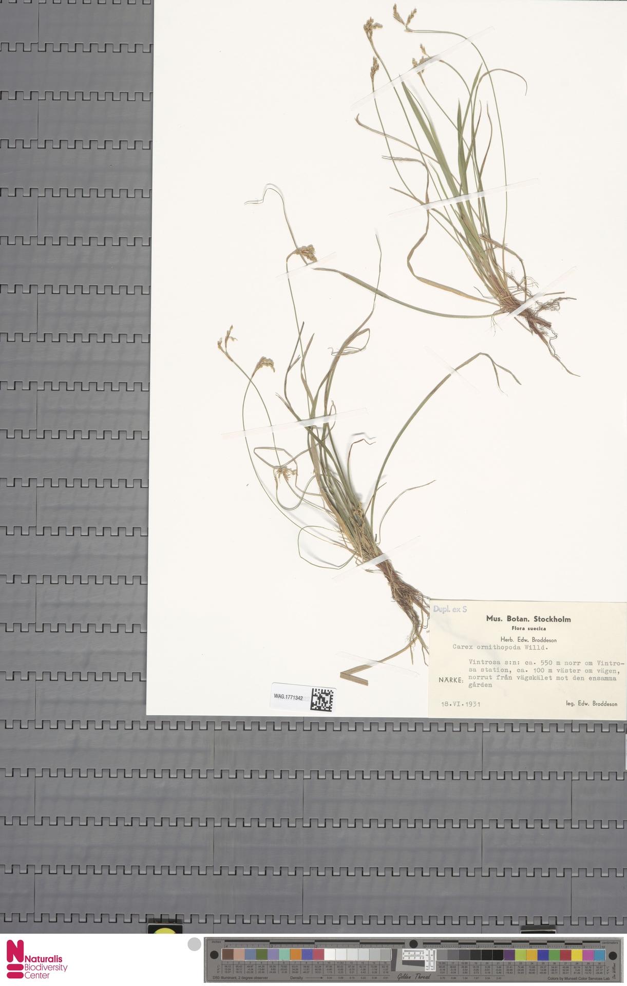 WAG.1771342 | Carex ornithopoda Willd.