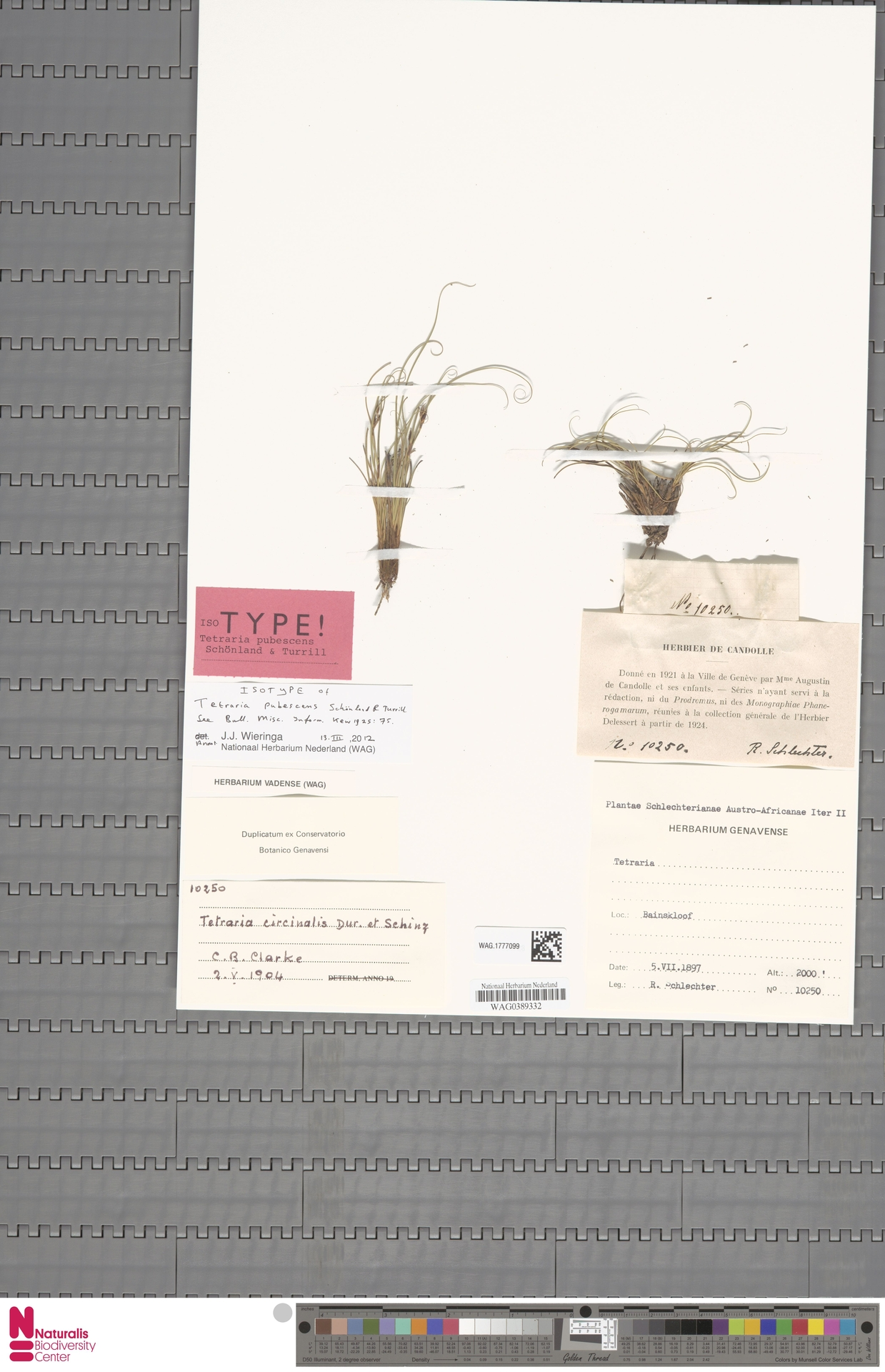 WAG.1777099 | Tetraria pubescens Schönland & Turrill
