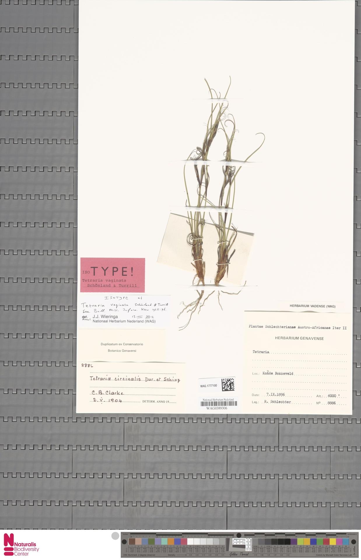 WAG.1777100 | Tetraria vaginata Schönland & Turrill