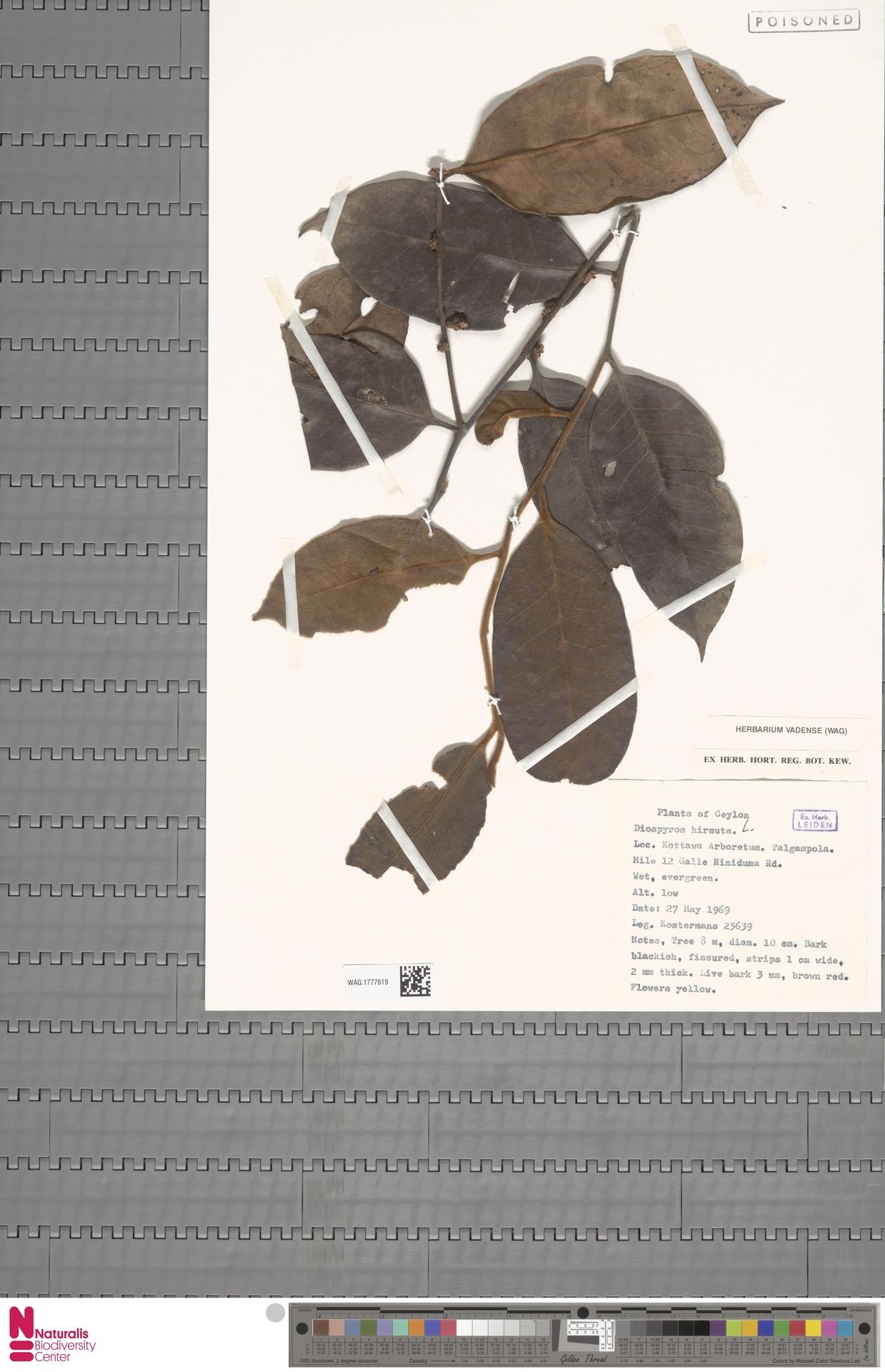 WAG.1777619 | Diospyros hirsuta L.