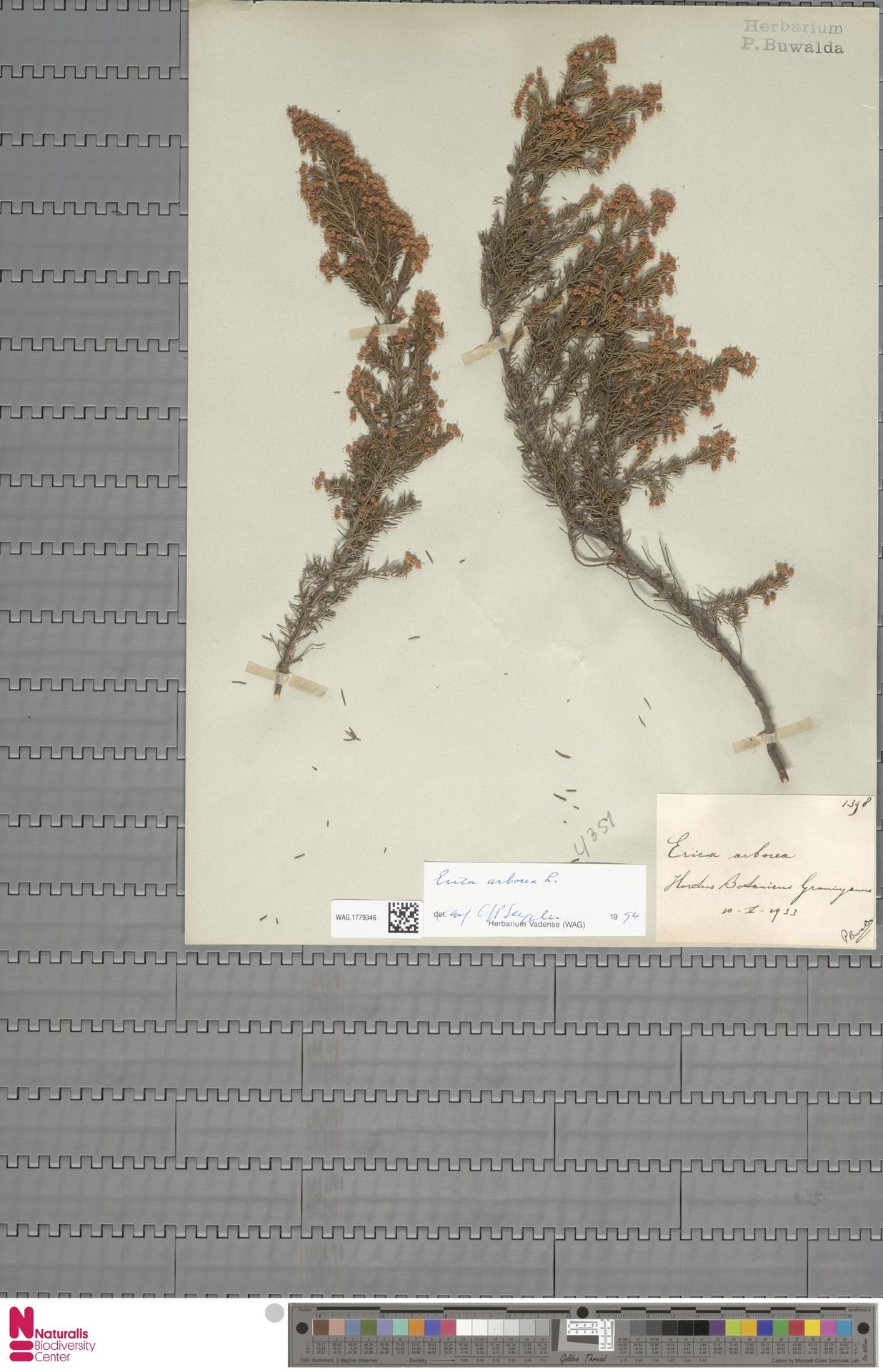 WAG.1779346 | Erica arborea L.