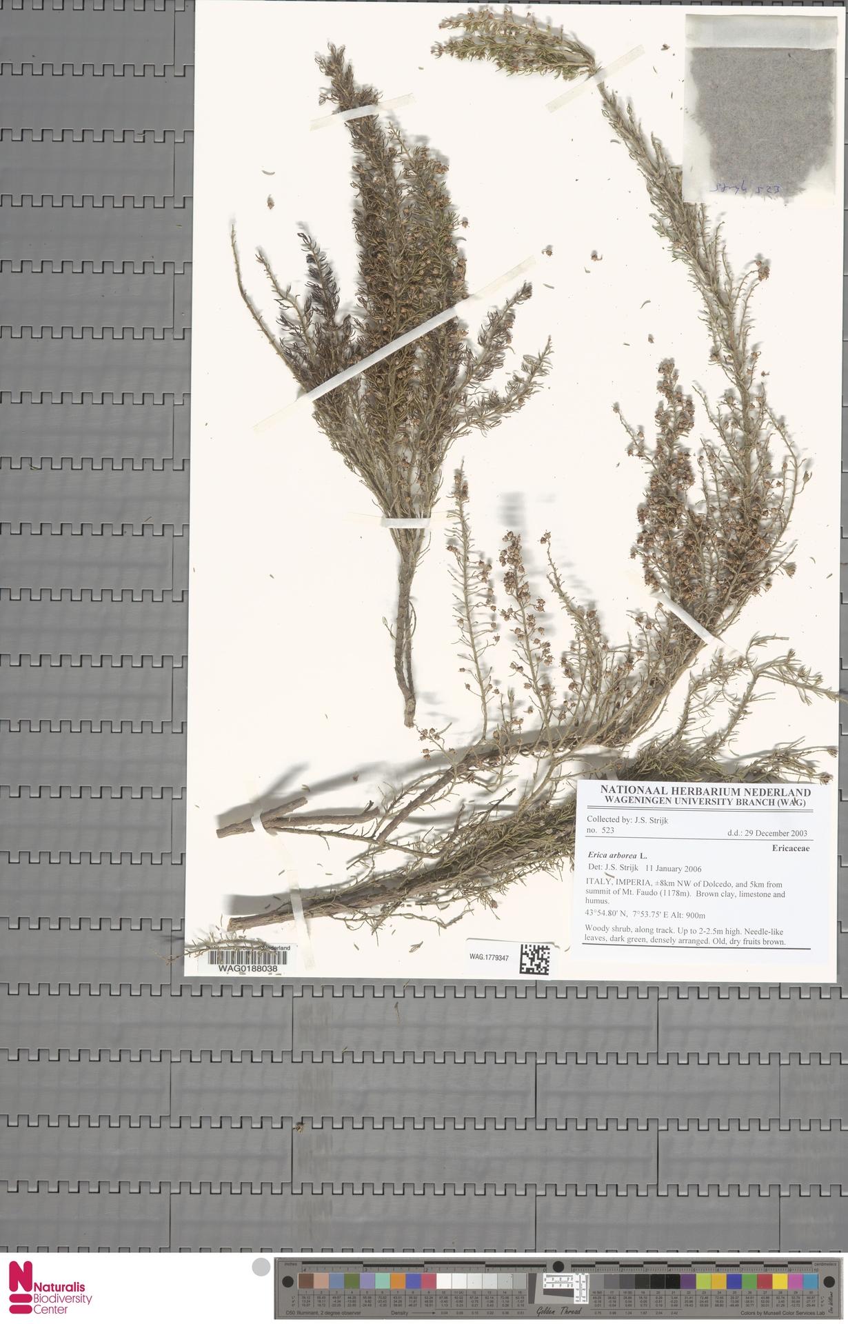 WAG.1779347 | Erica arborea L.
