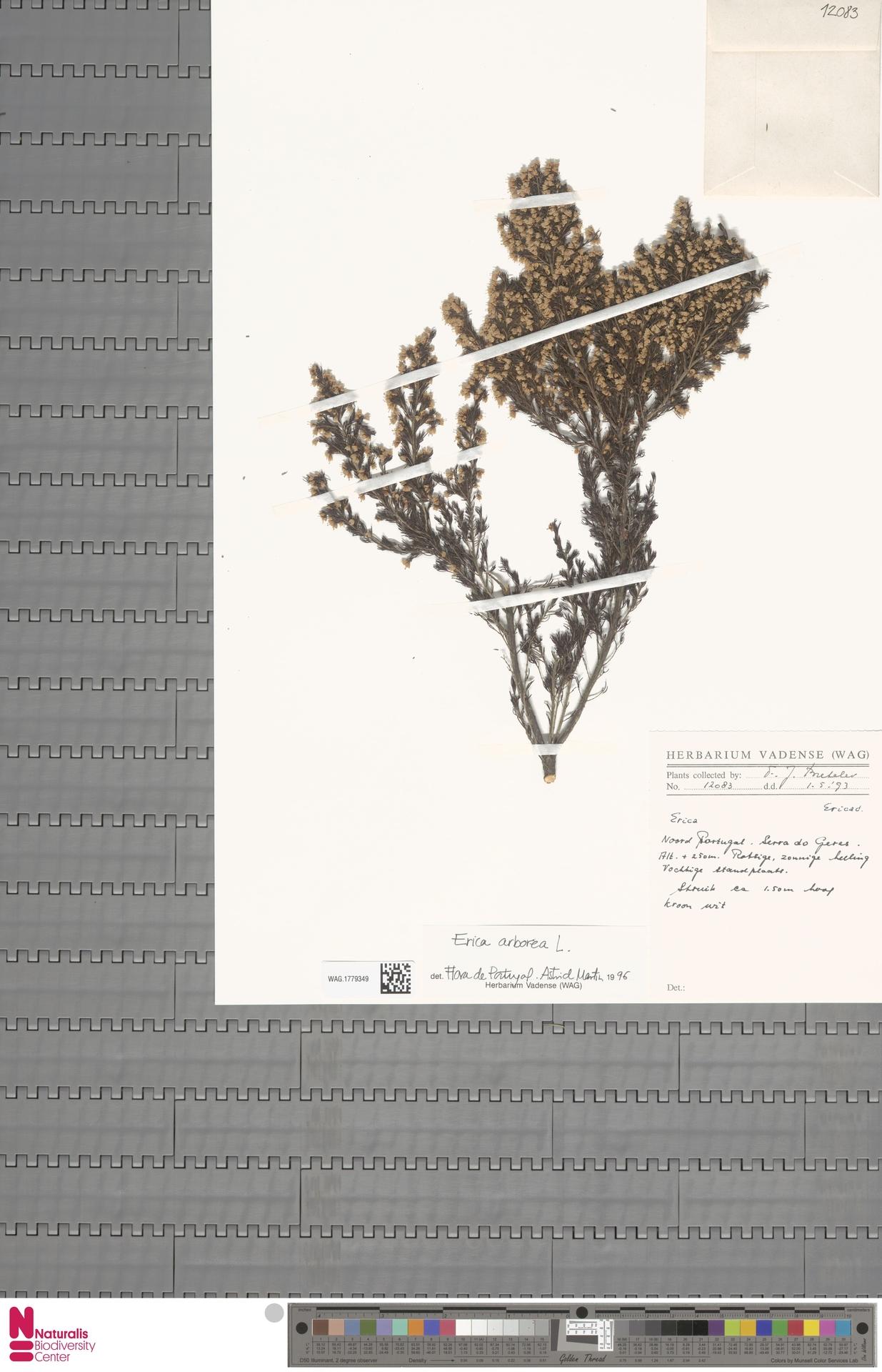 WAG.1779349 | Erica arborea L.