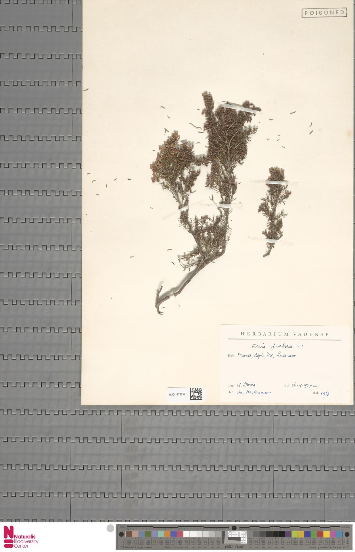 WAG.1779352 | Erica arborea L.