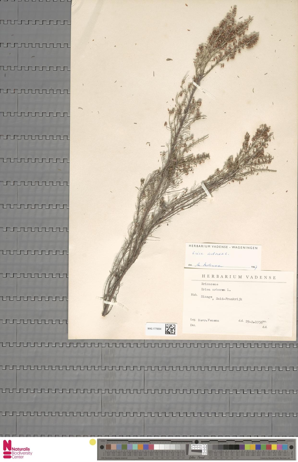 WAG.1779354 | Erica arborea L.