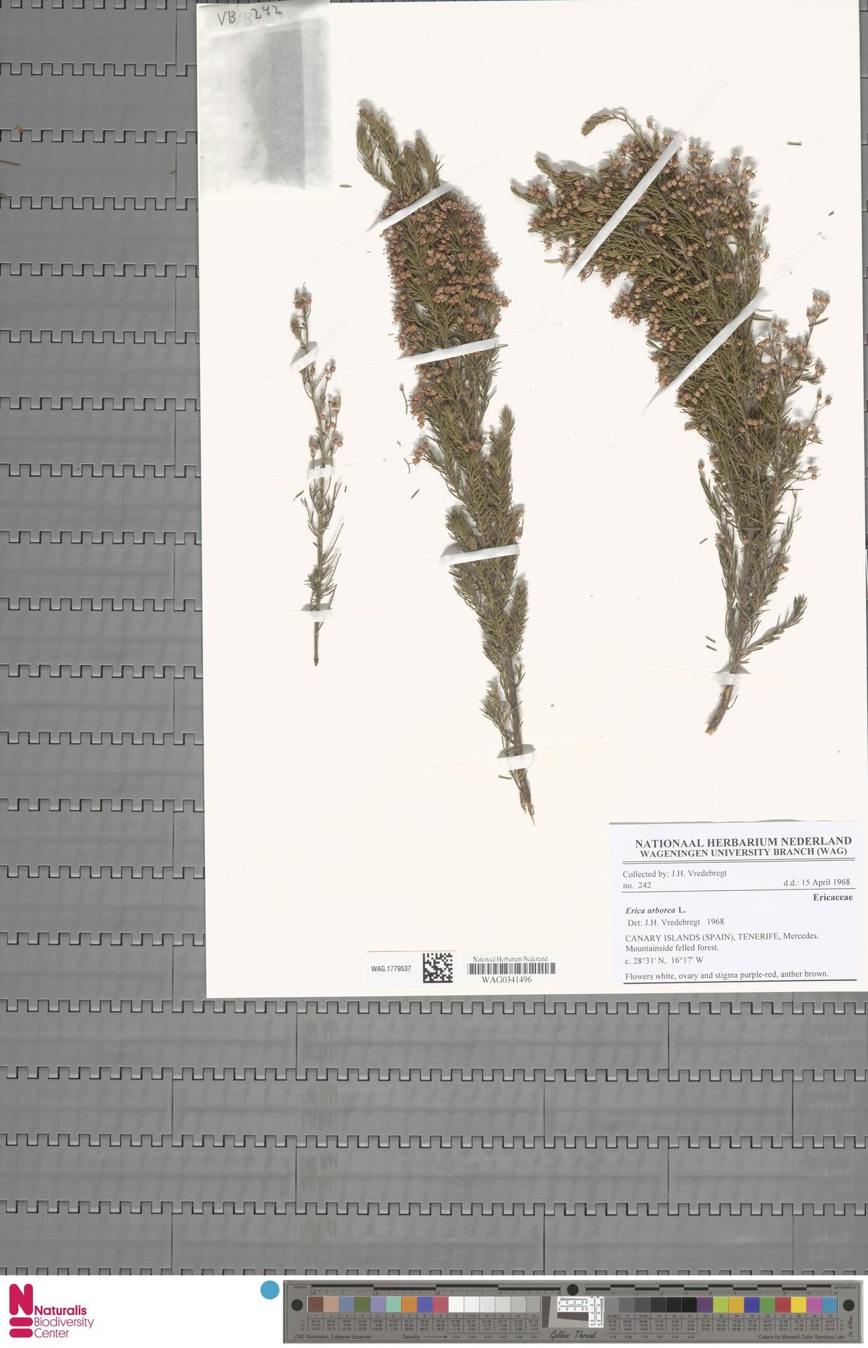 WAG.1779537 | Erica arborea L.
