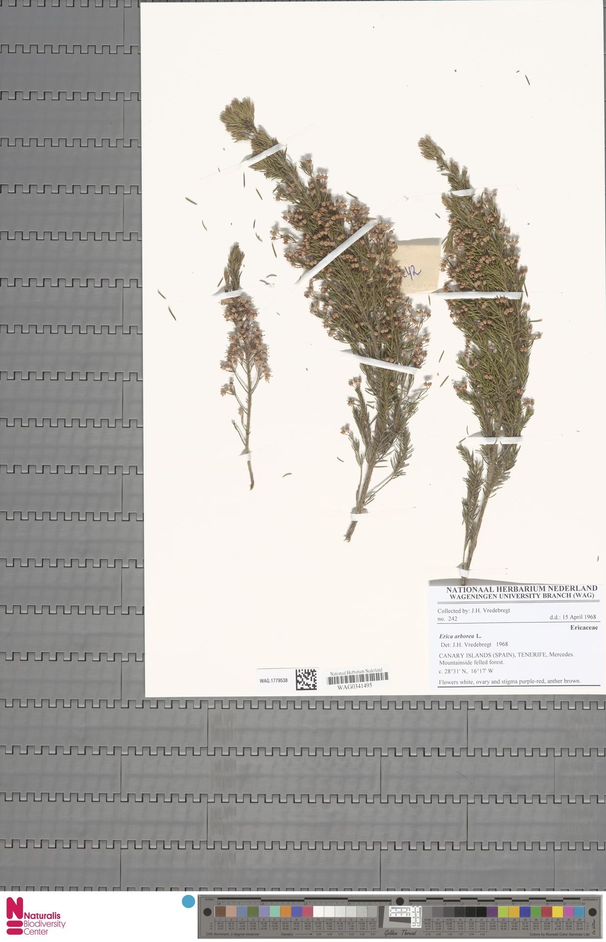 WAG.1779538   Erica arborea L.
