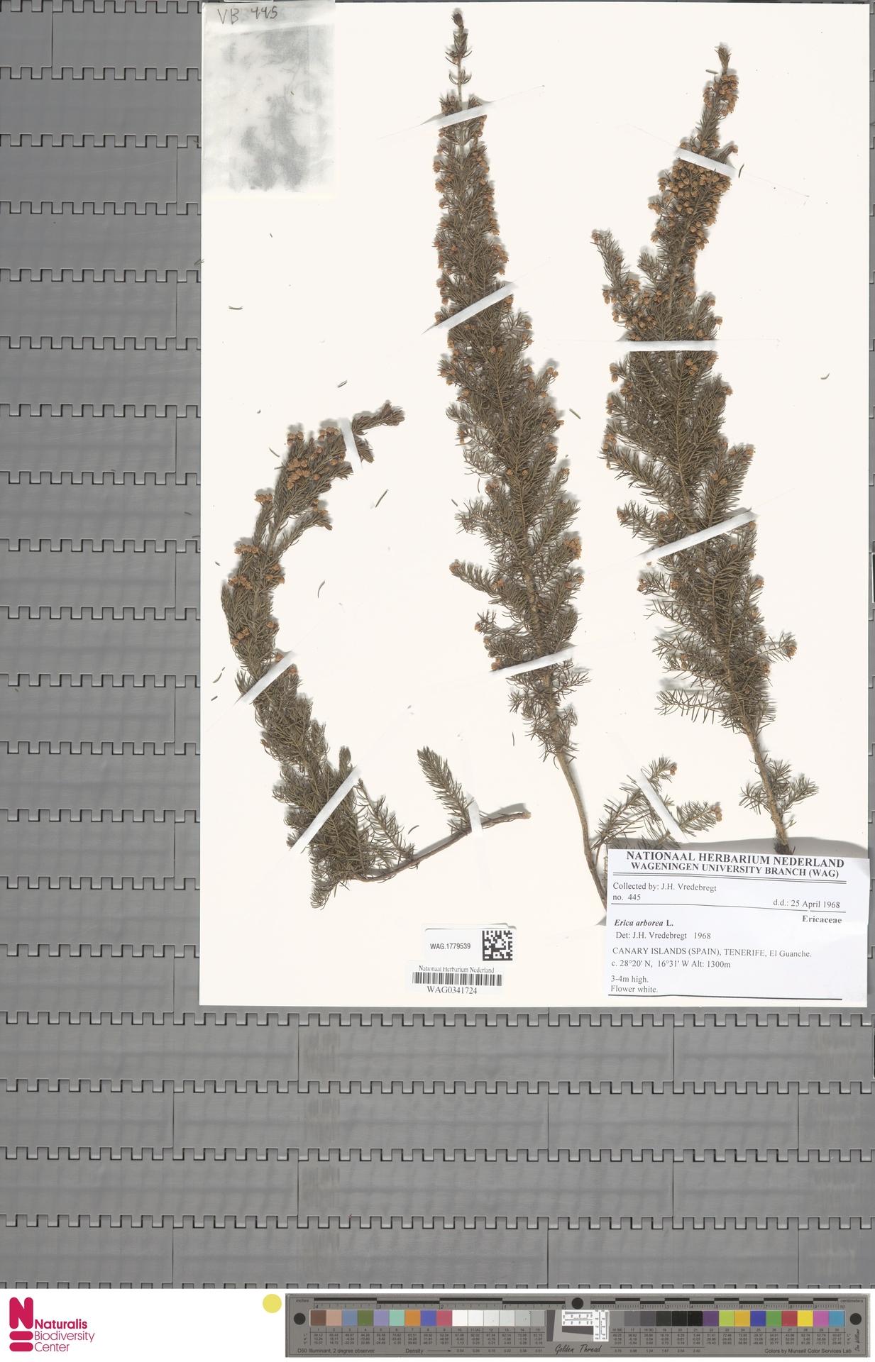 WAG.1779539   Erica arborea L.