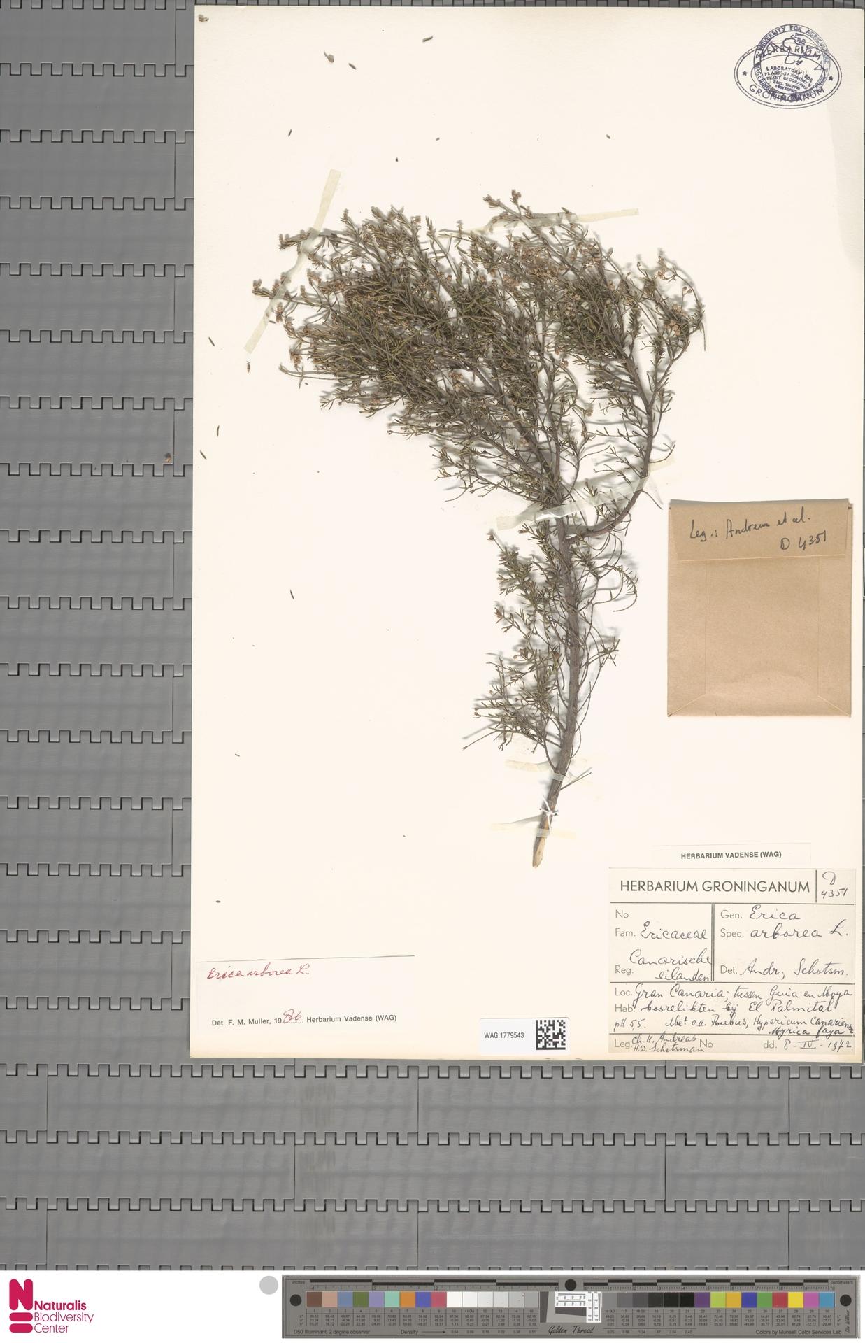 WAG.1779543 | Erica arborea L.