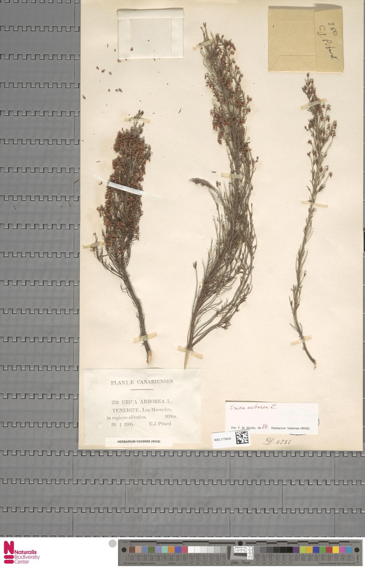 WAG.1779544 | Erica arborea L.