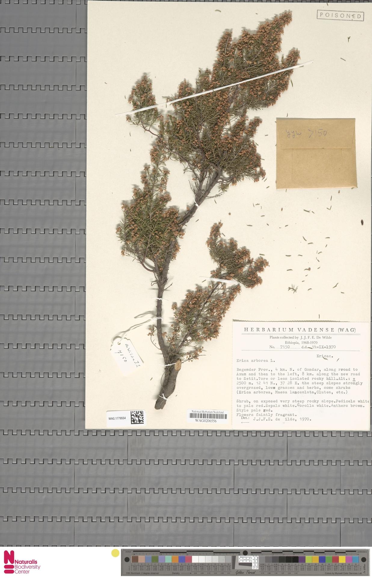 WAG.1779554 | Erica arborea L.