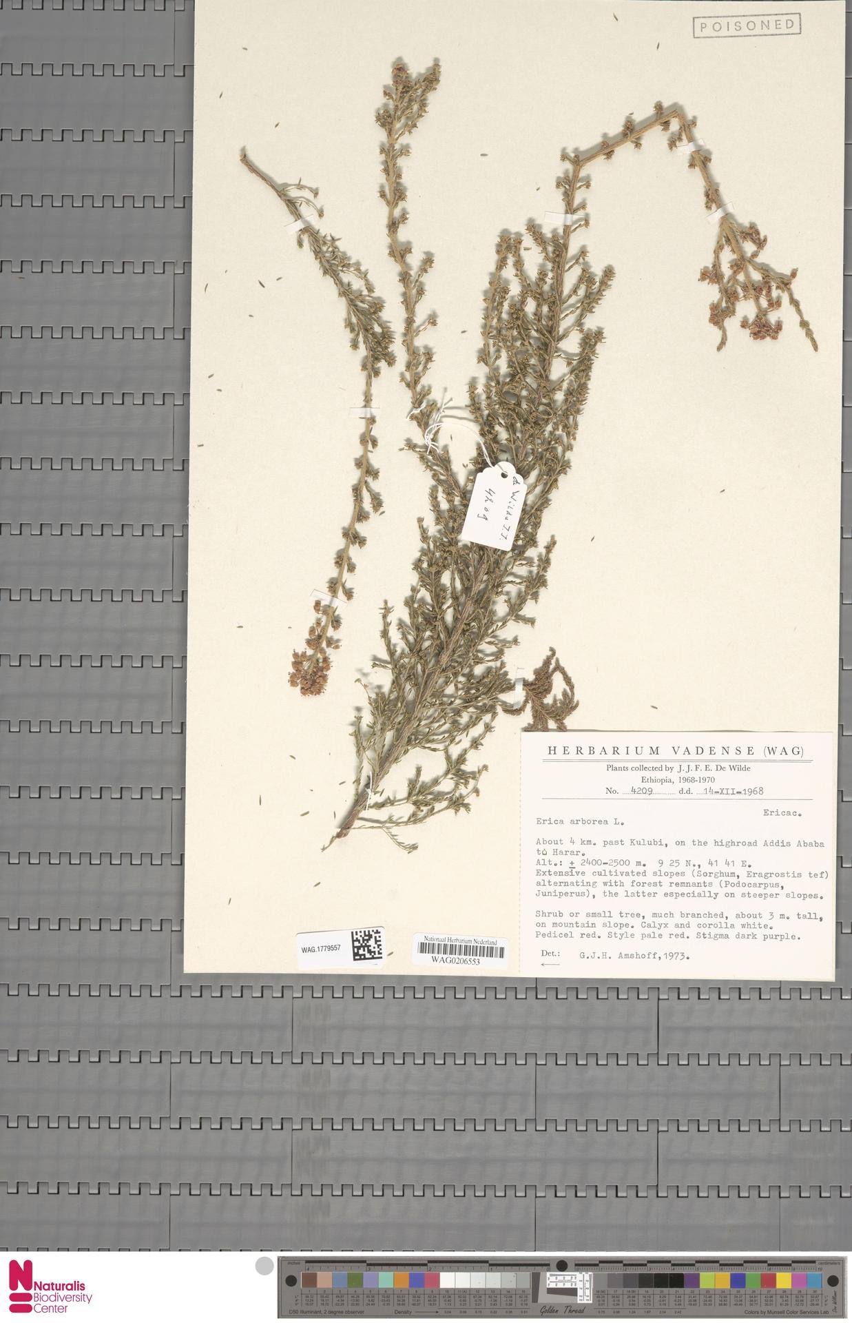 WAG.1779557   Erica arborea L.