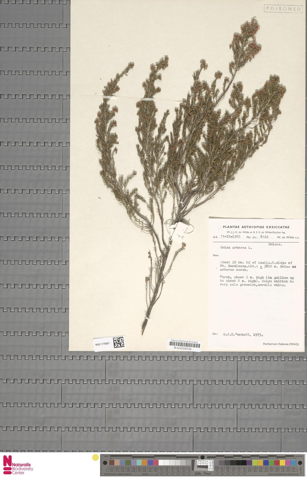 WAG.1779567 | Erica arborea L.