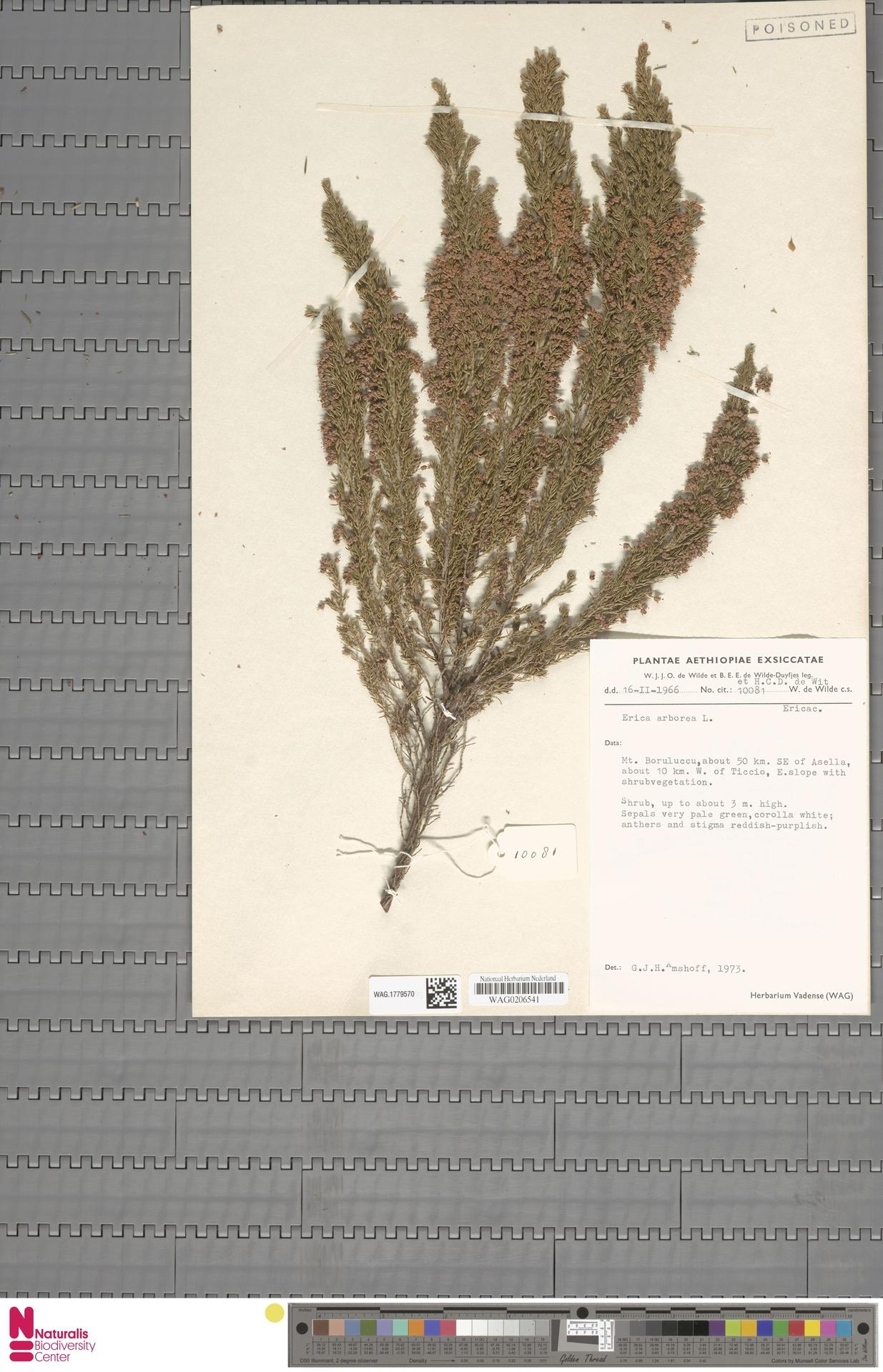 WAG.1779570 | Erica arborea L.