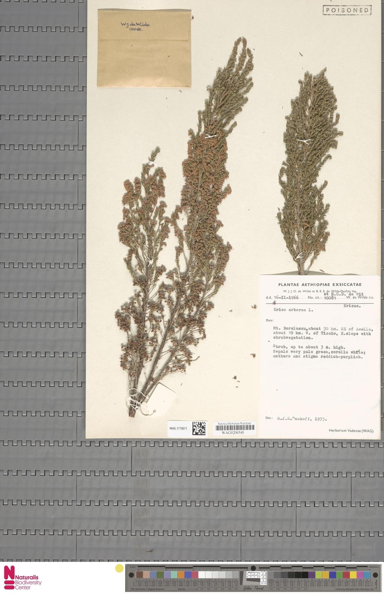 WAG.1779571   Erica arborea L.