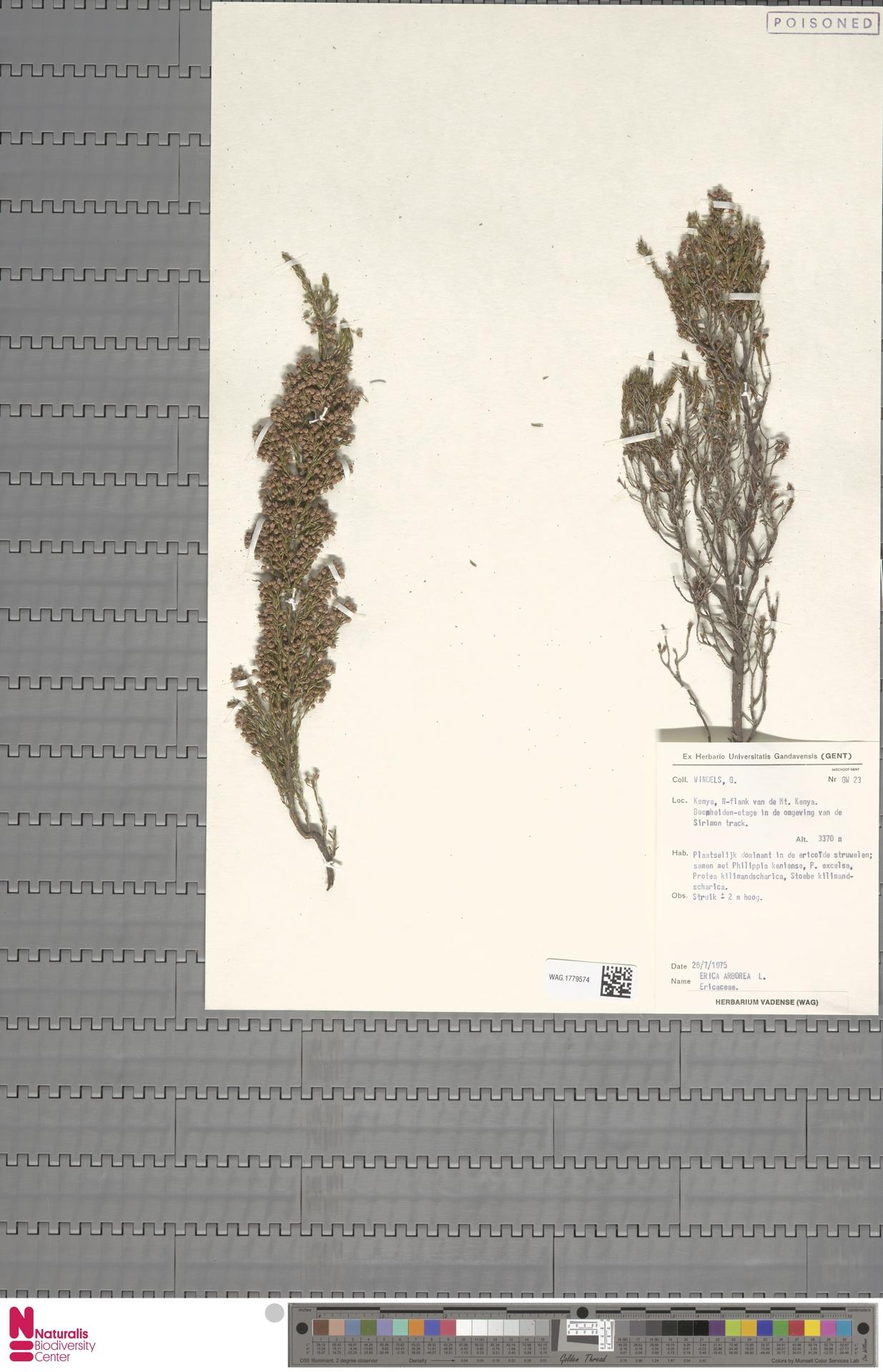 WAG.1779574 | Erica arborea L.