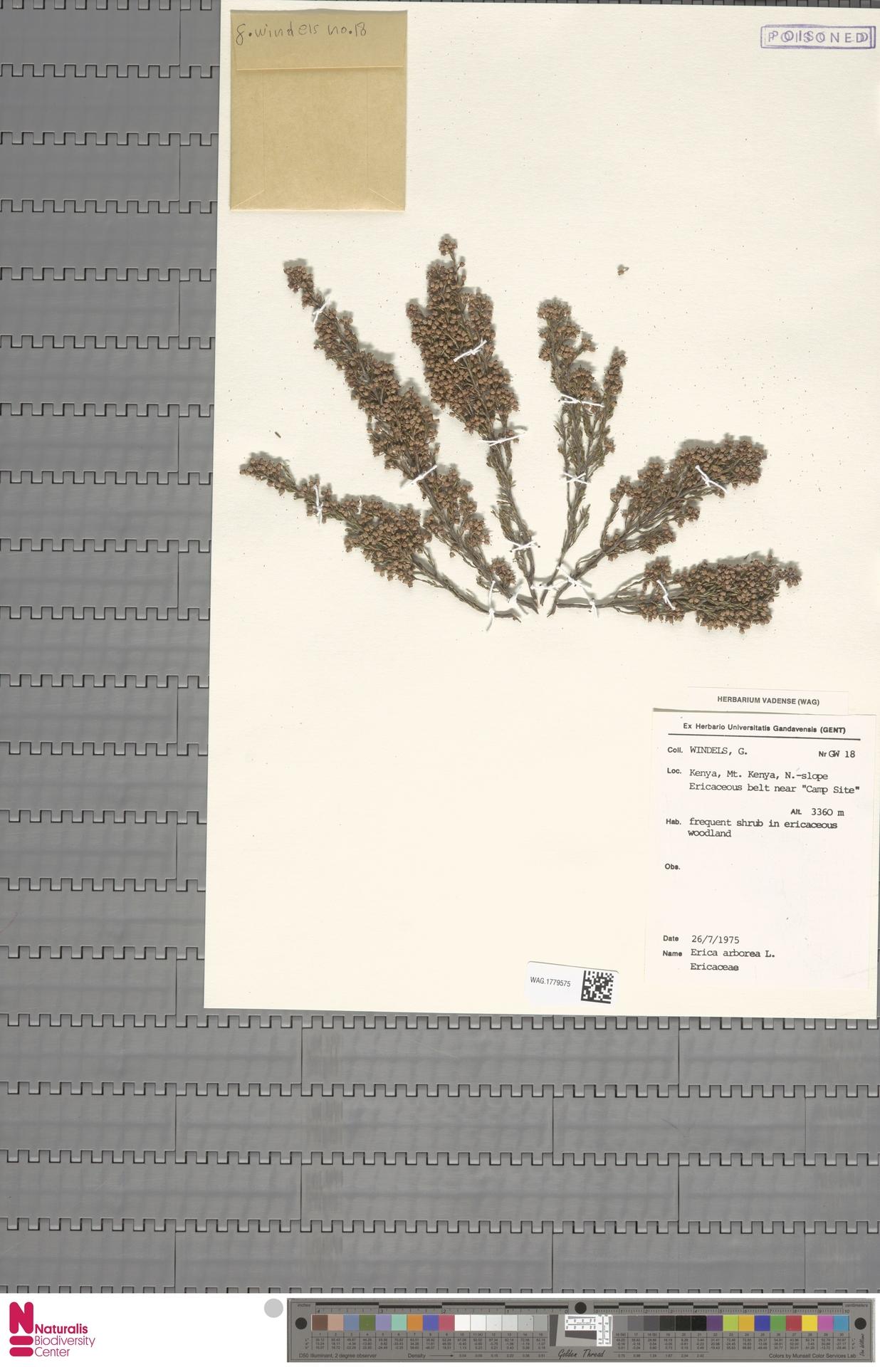WAG.1779575 | Erica arborea L.