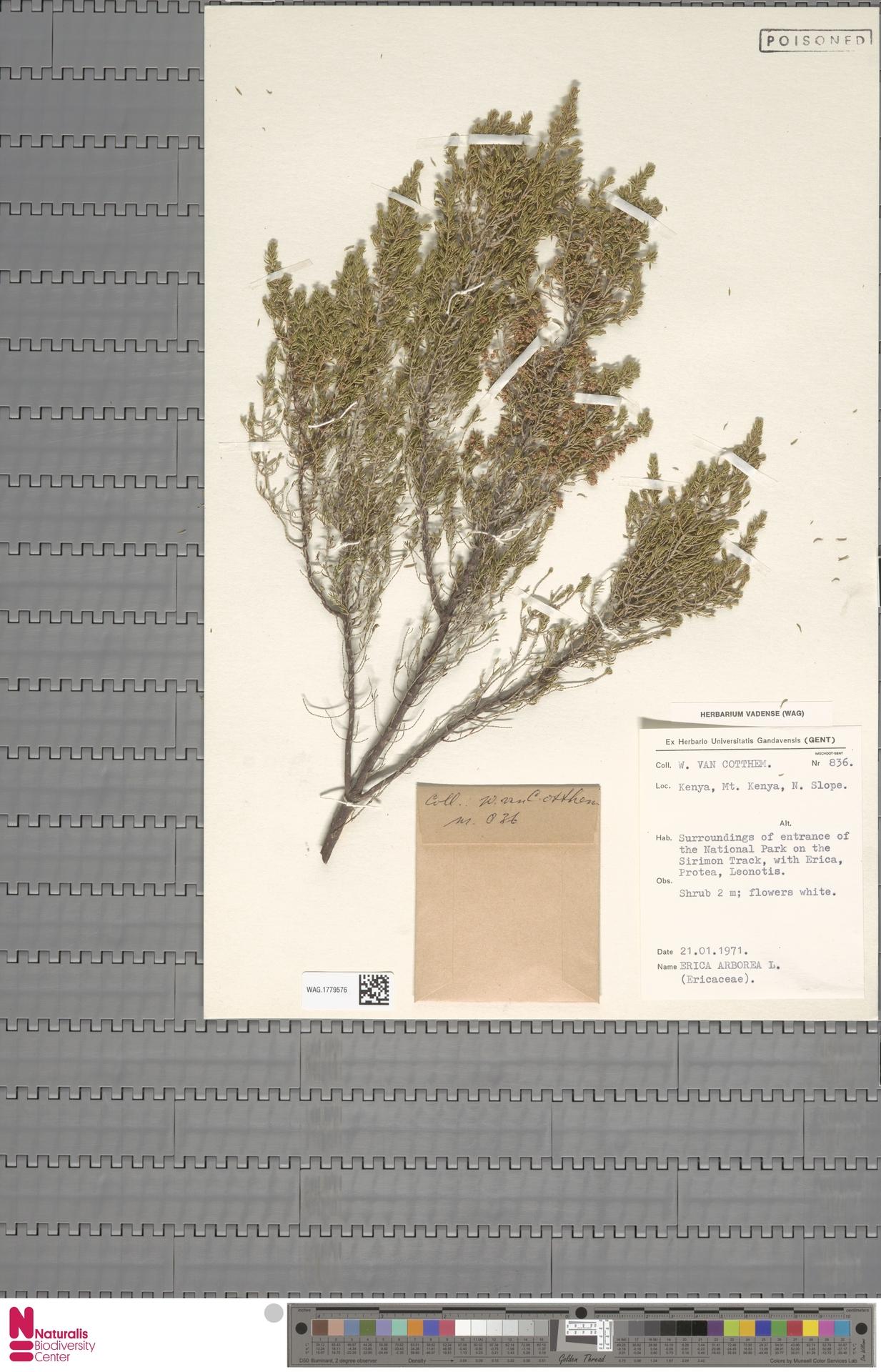 WAG.1779576 | Erica arborea L.