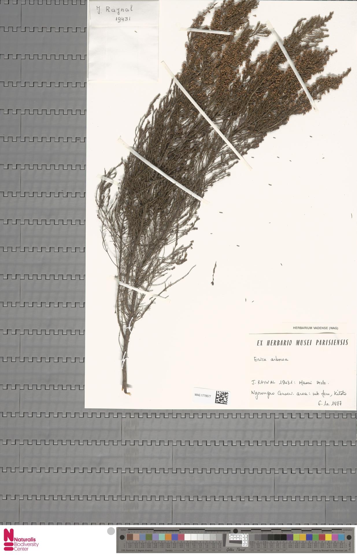 WAG.1779577 | Erica arborea L.
