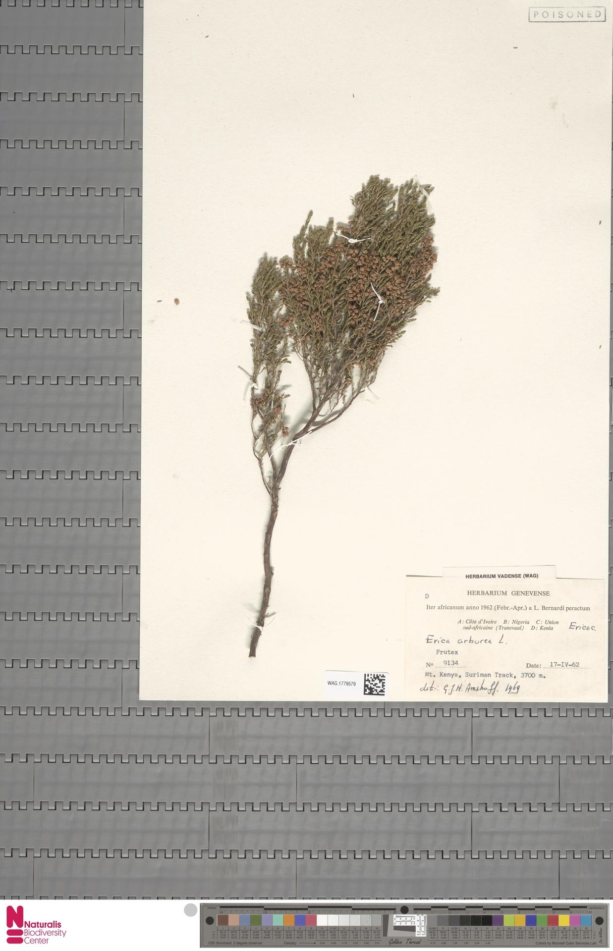 WAG.1779579 | Erica arborea L.